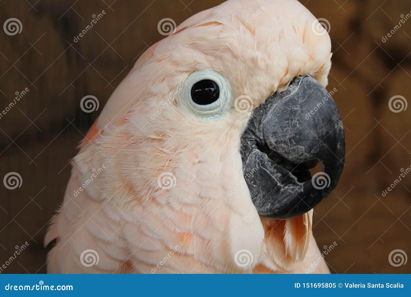 Różowy kakadu widzieć w górę zakończenia