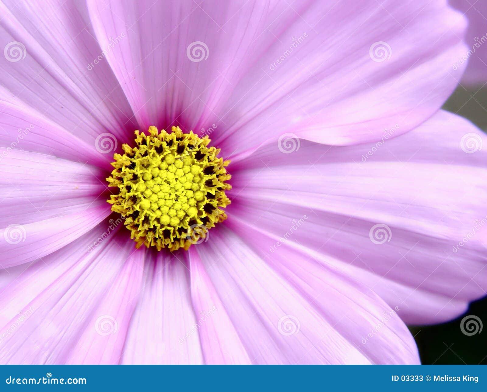 Różowy kwiat   cosmo
