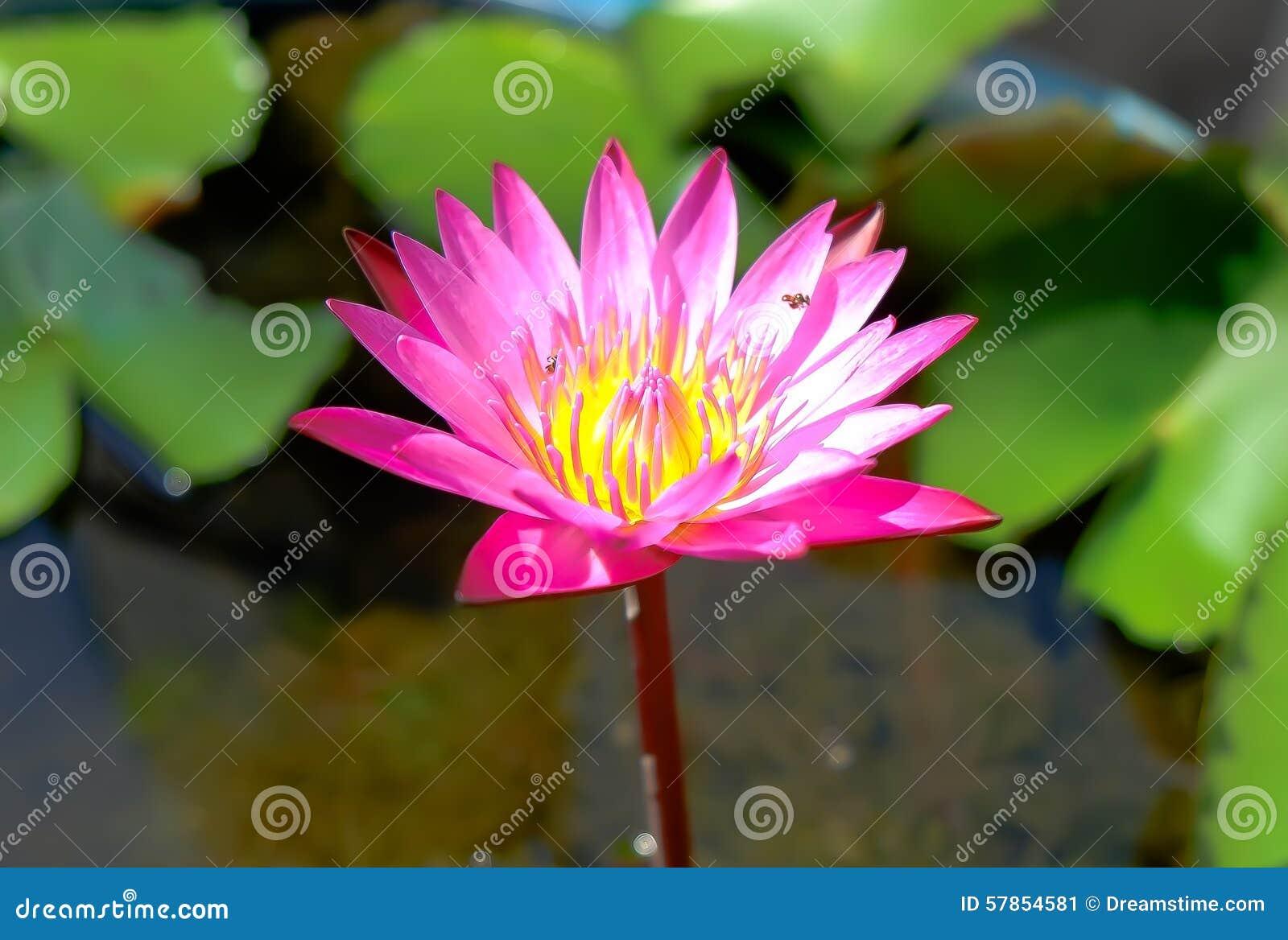 Różowy kwiat lotosu piękne
