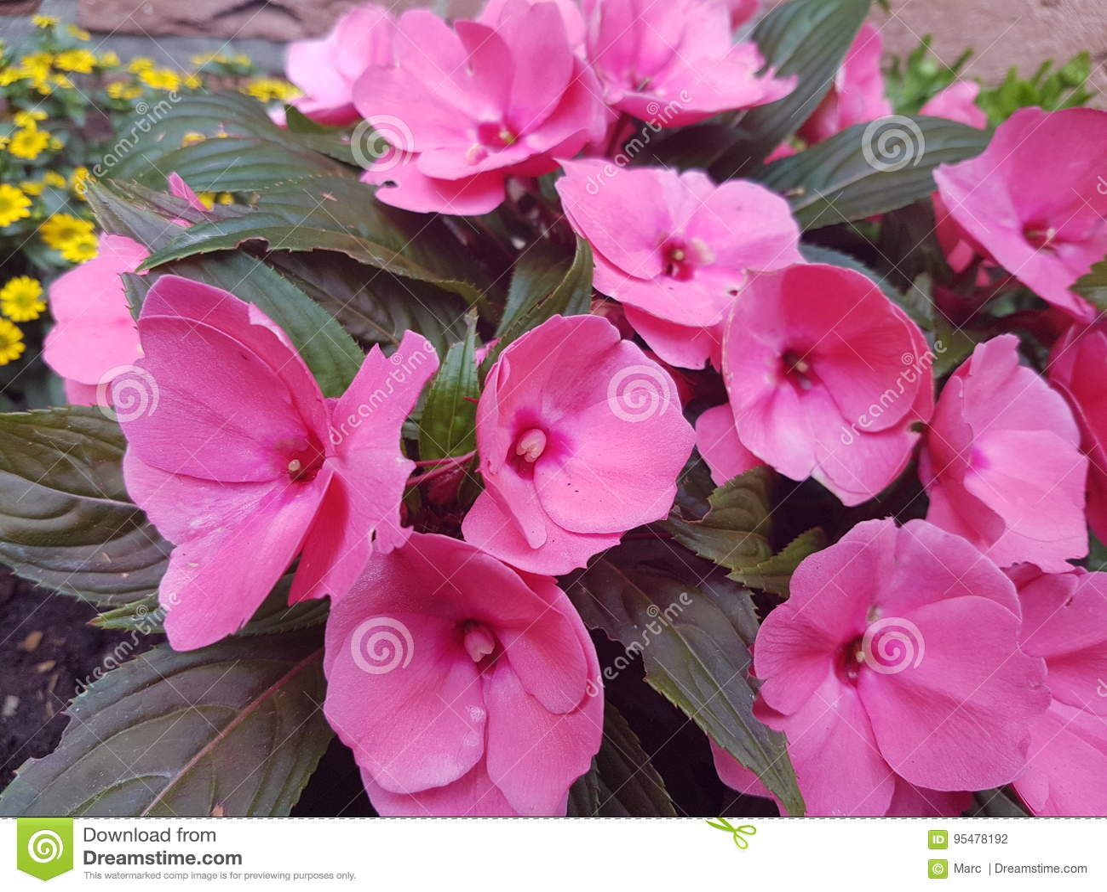 Różowy kwiat ogrodowe