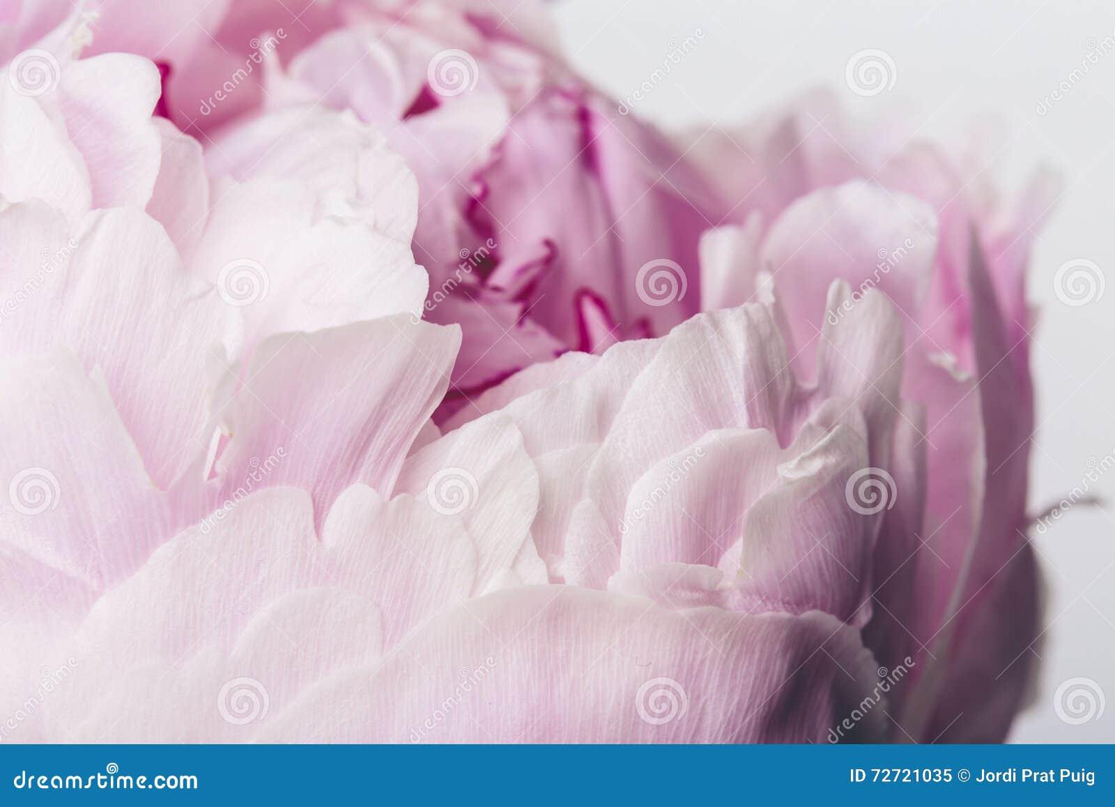 Różowy kwiatu zakończenie up z gładkimi płatkami na białym tle