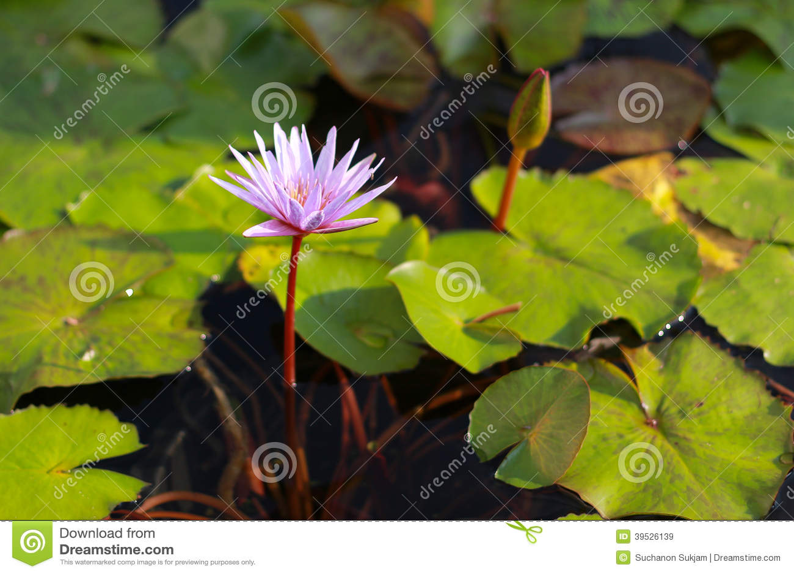 Różowy lotosowego kwiatu kwitnienie w basenie