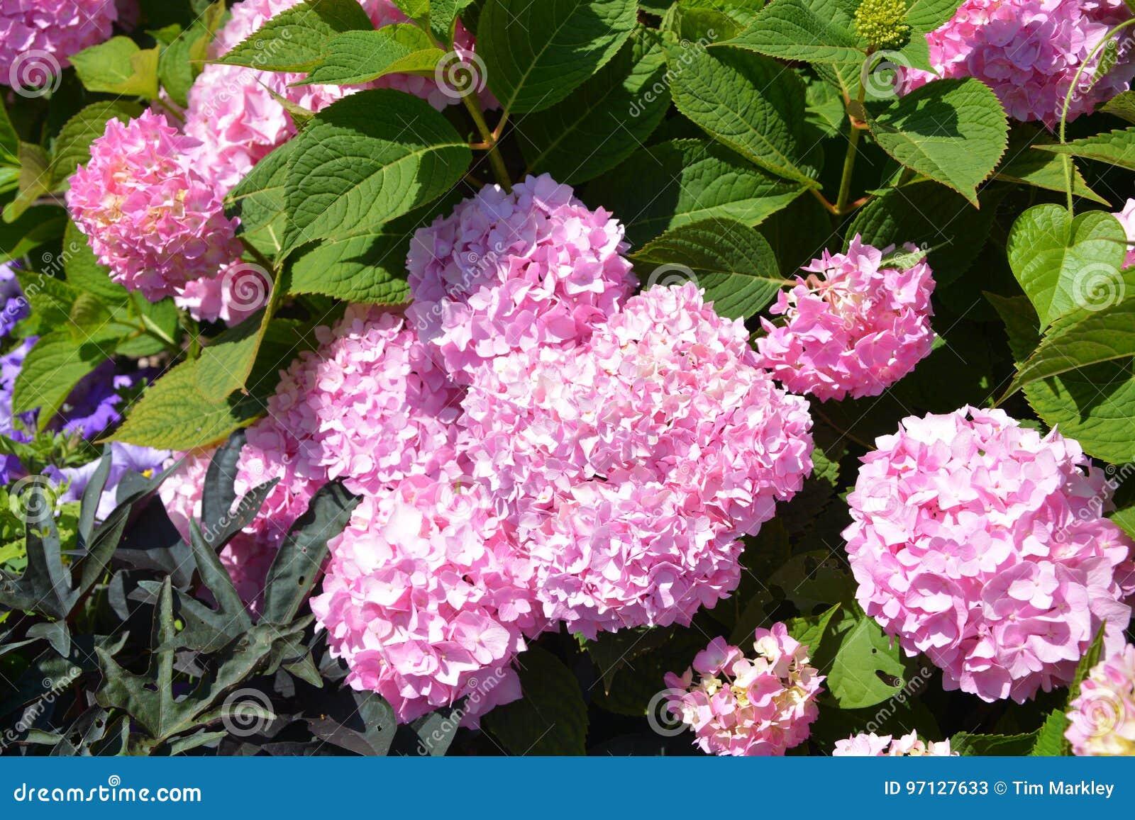 Różowy okwitnięcie