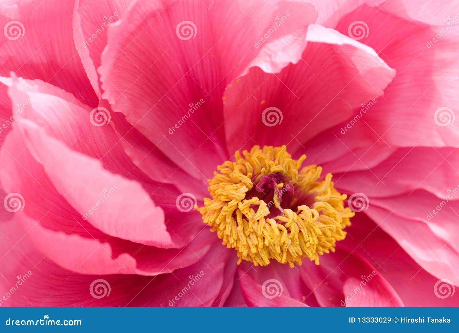Różowy peoni drzewo