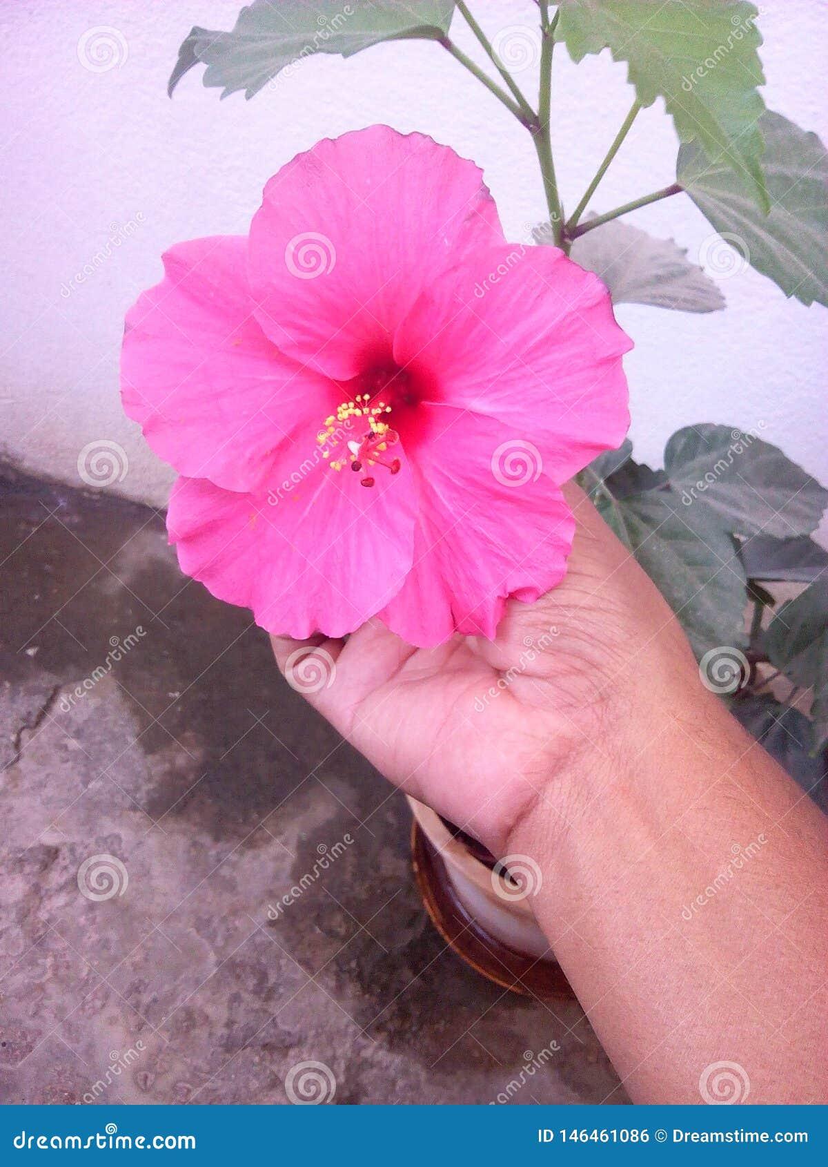 Różowy piękny kwiat w mój domu ostatnio