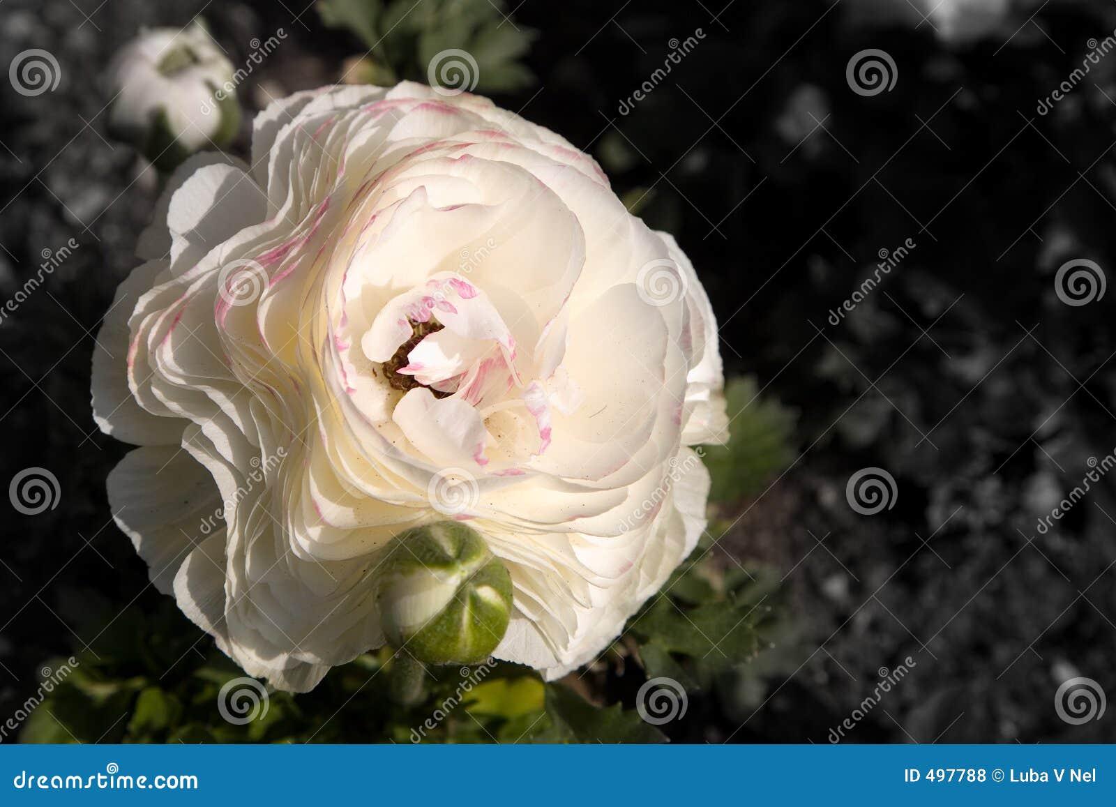 Różowy poppy white