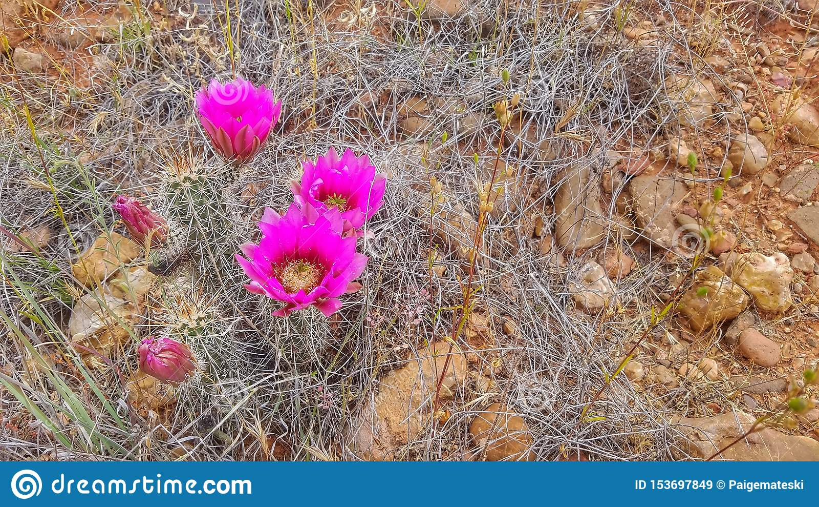 Różowy pustynny kaktus kwitnie przeciw czerwonemu brudowi
