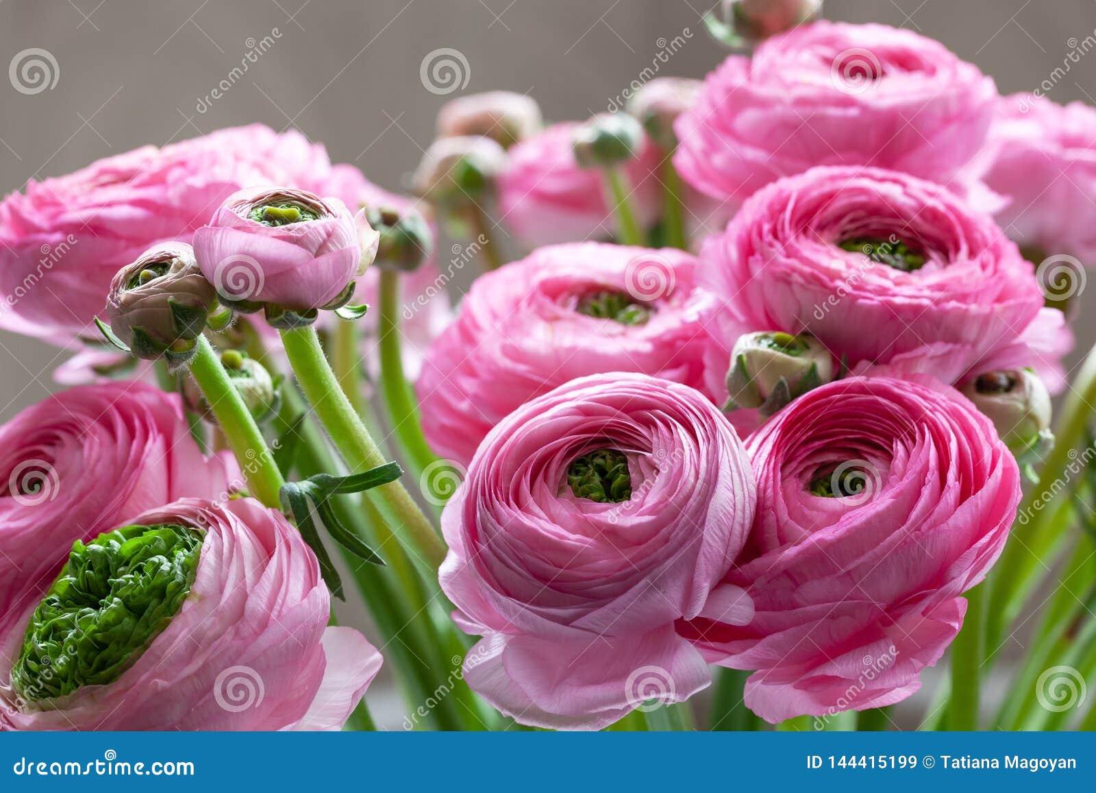 Różowy Ranunculus bukieta tło Makro- Zakończenie Dla colourful kartki z pozdrowieniami lub kwiatu dostawy Miękka selekcyjna ostro