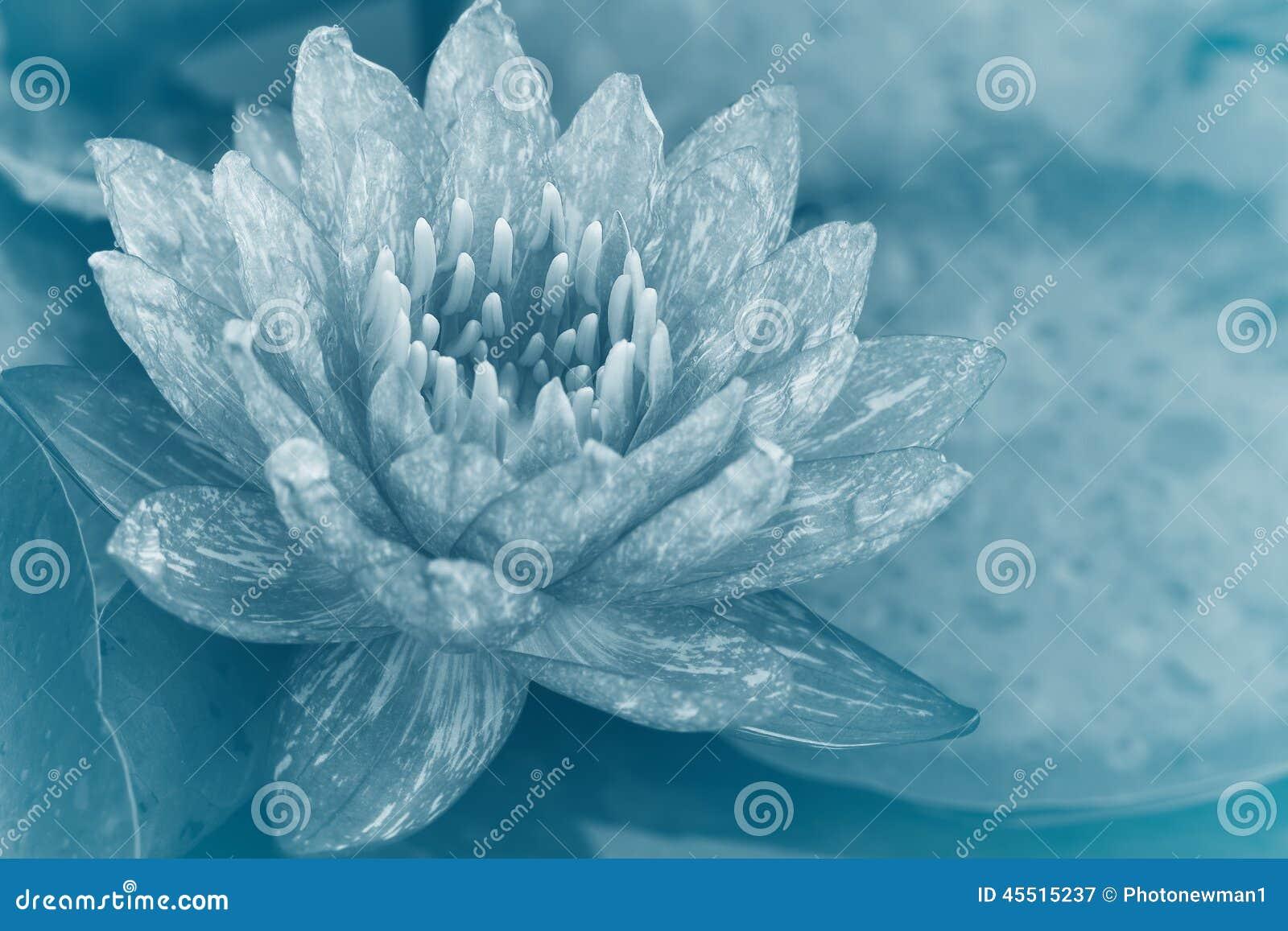 Różowy waterlily