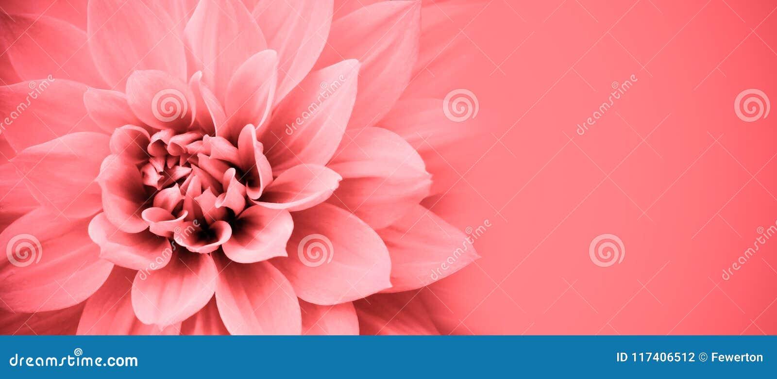 Różowych dalia kwiatu szczegółów fotografii granicy makro- rama z szerokim sztandaru tłem dla wiadomości tła karcianego powitania