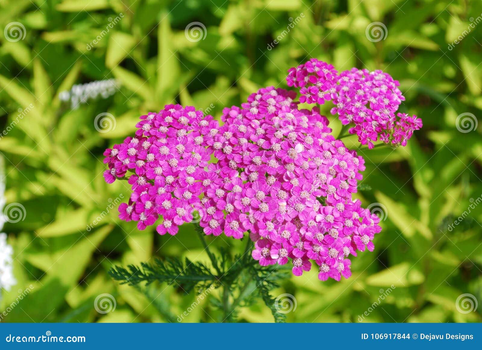 Różowi Achillea kwiaty