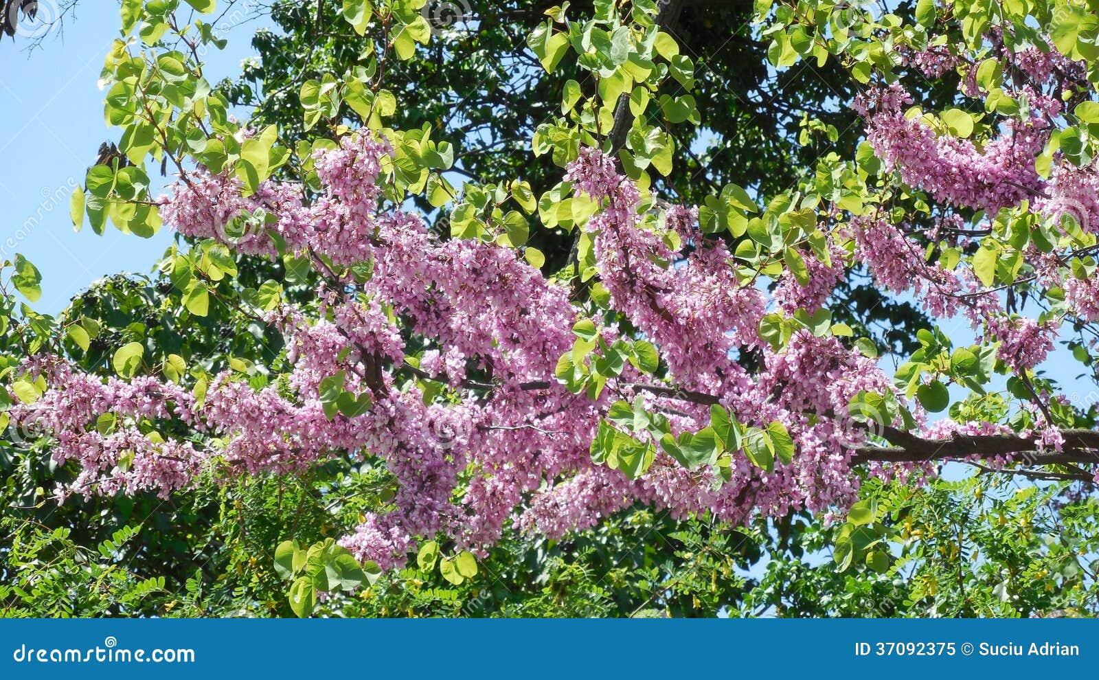Download Różowy kwiatu drzewo obraz stock. Obraz złożonej z menchie - 37092375