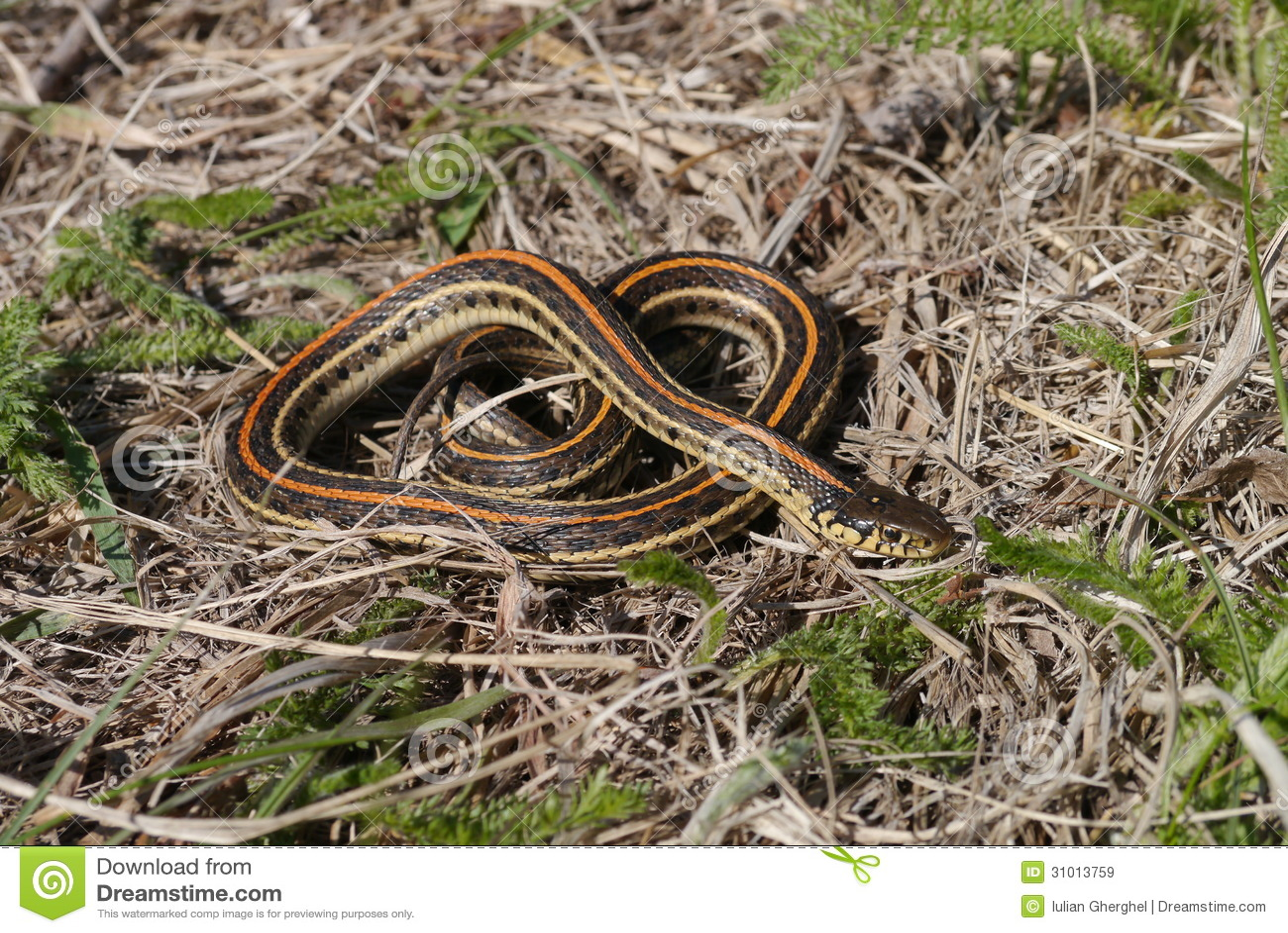Równiny podwiązki wąż