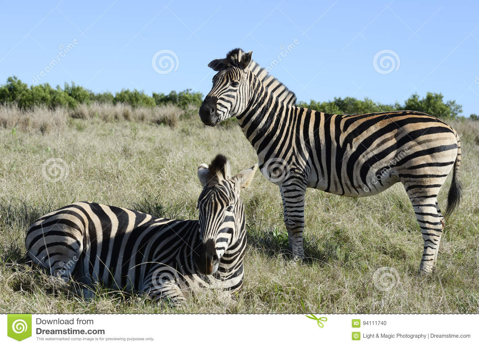 Równiny zebra, Addo słonia park narodowy