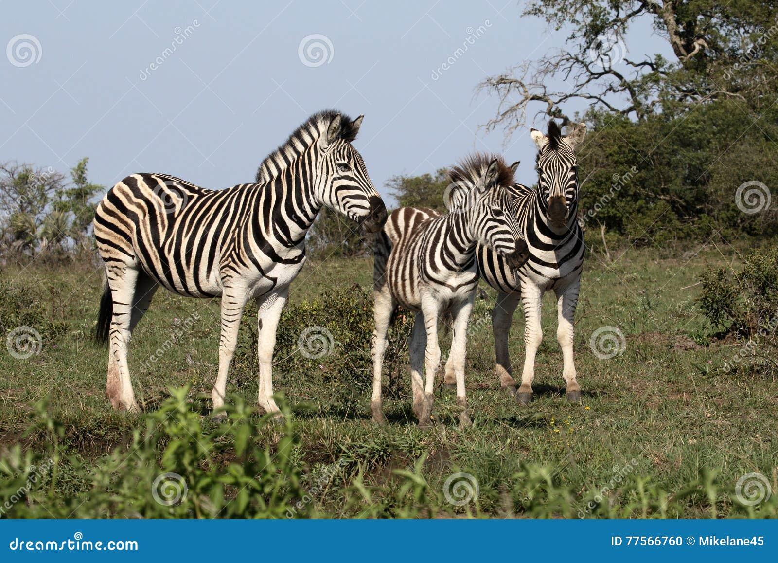 Równiny zebra, Pospolita zebra lub Burchells zebra, Equus kwaga