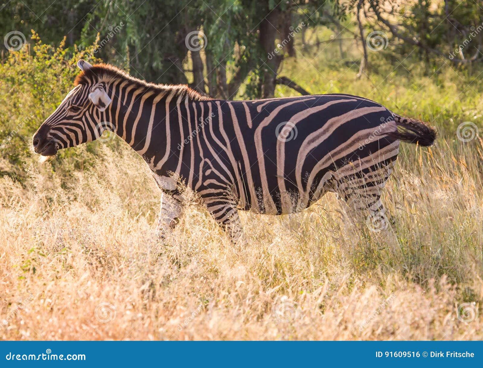 Równiny zebra przy Kruger parkiem narodowym