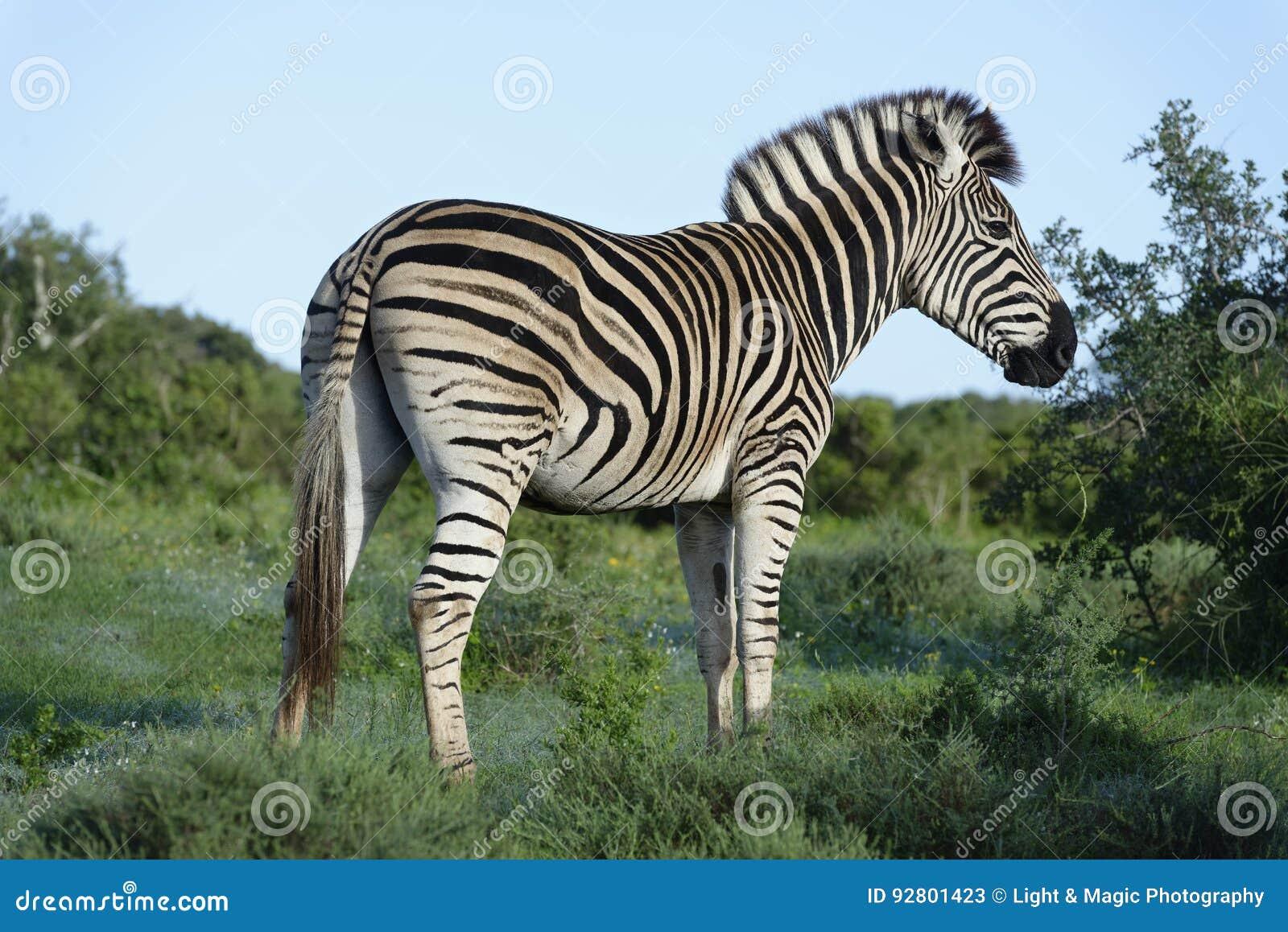 Równiny zebra w Addo słonia parku narodowym