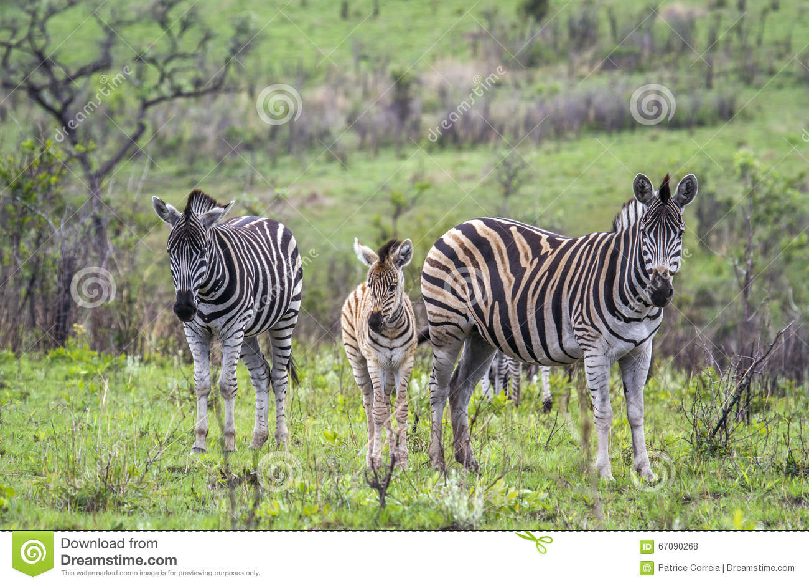 Równiny zebra w Kruger parku narodowym, Południowa Afryka