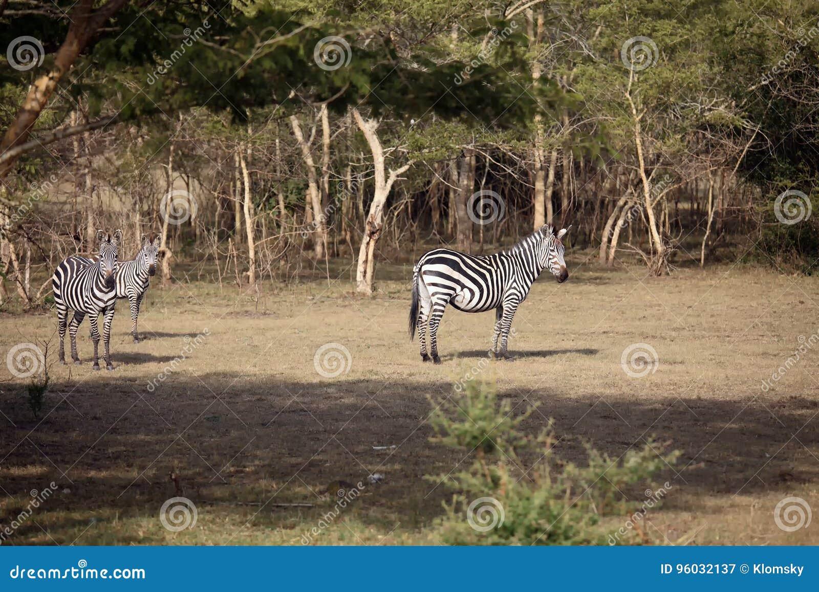 Równiny zebra w krzaku