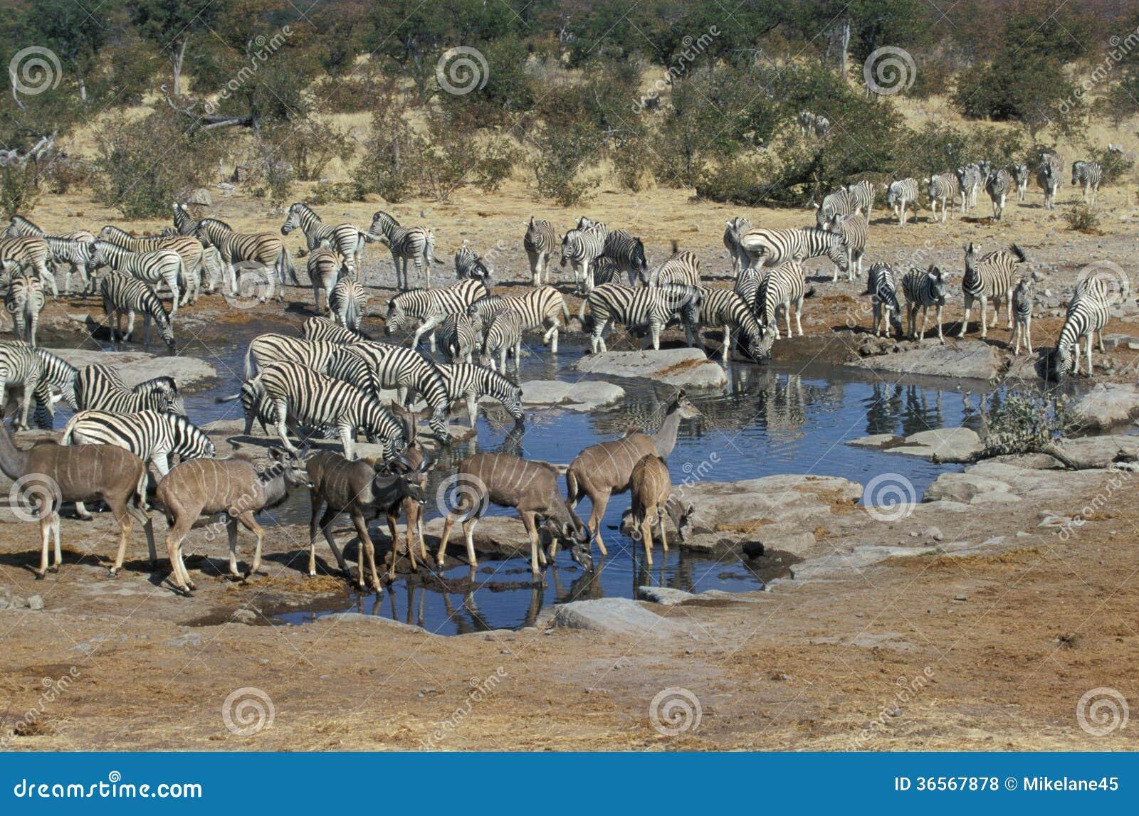 Równiny zebry, Equus kwaga