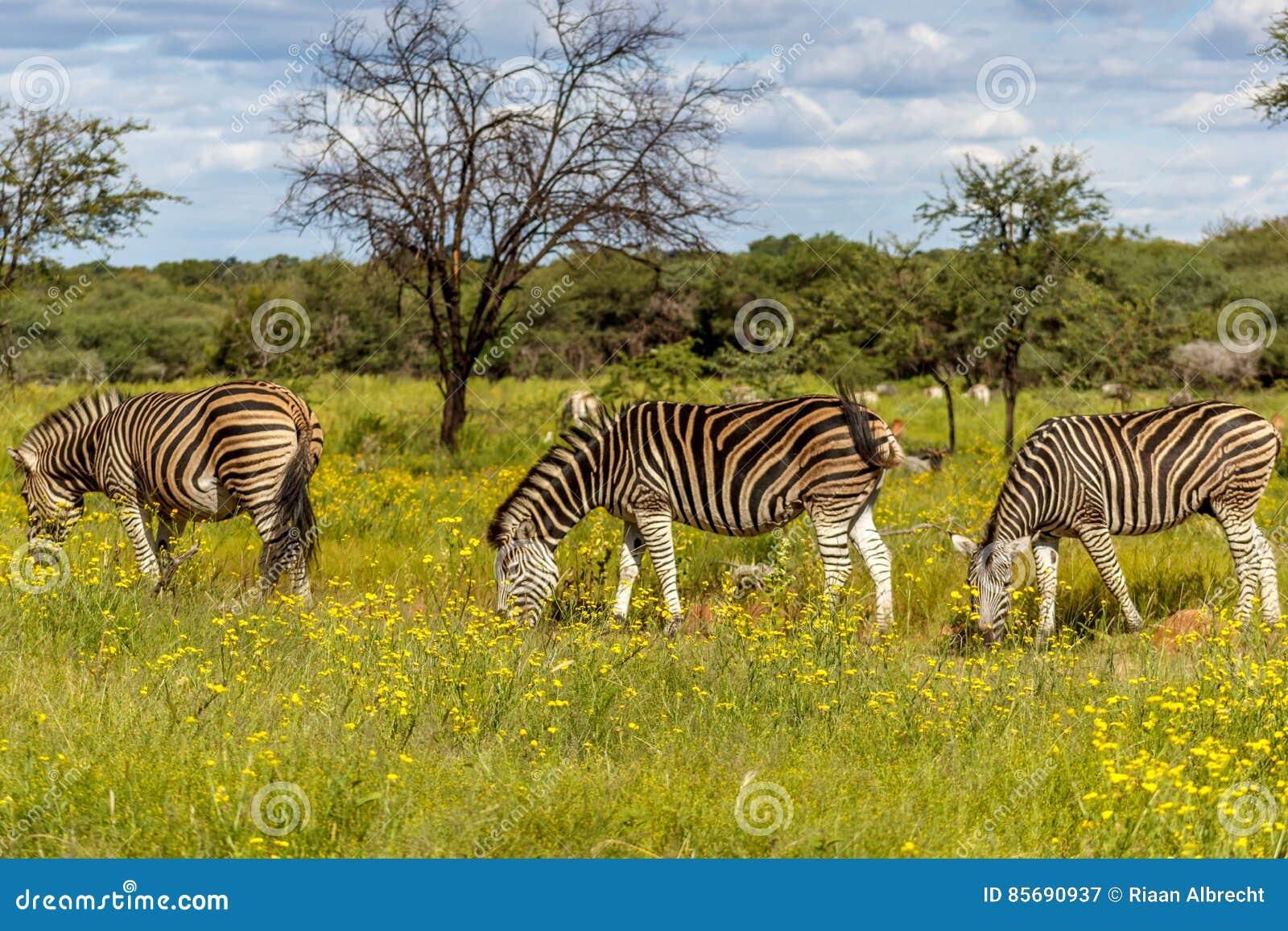 Równiny zebry Equus kwaga