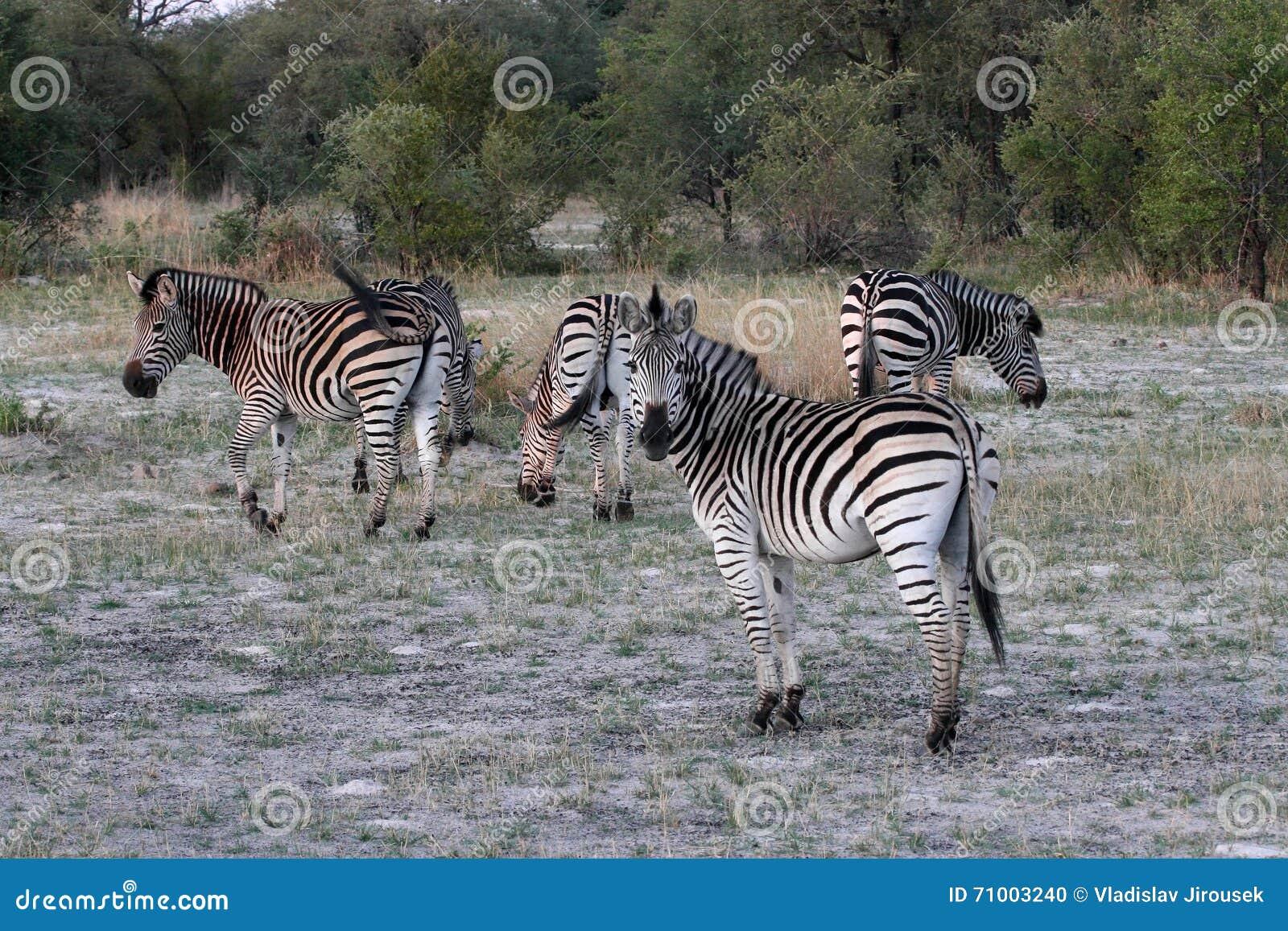 Równiny zebry, Equus kwaga, Hwange park narodowy, Zimbabwe