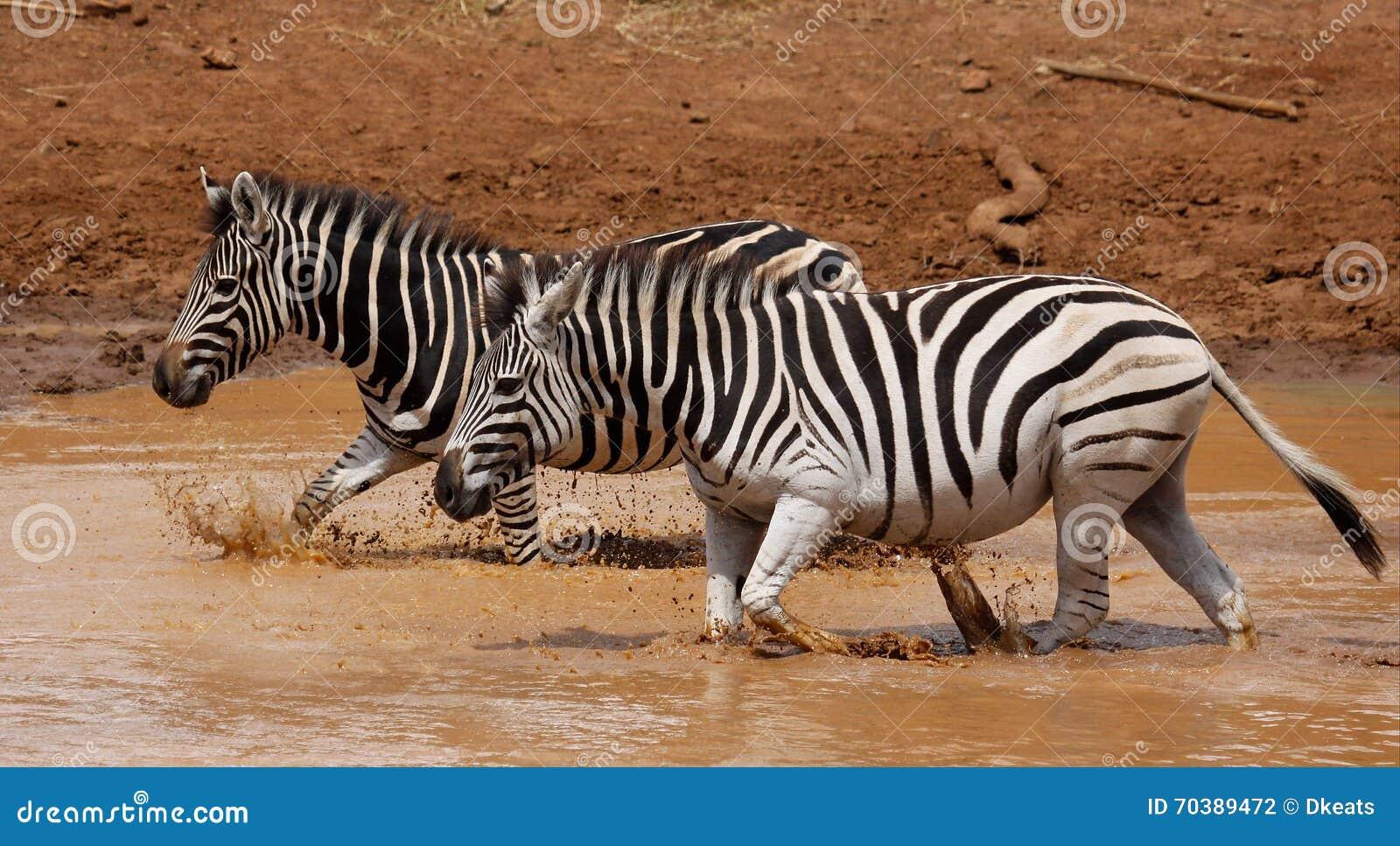 Równiny zebry Equus kwaga przy waterhole
