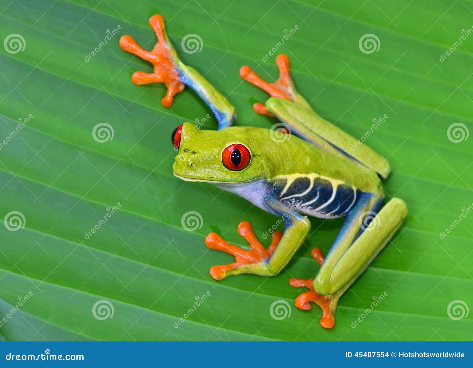 Röd ögonträdgroda på det gröna bladet, cahuita, Costa Rica