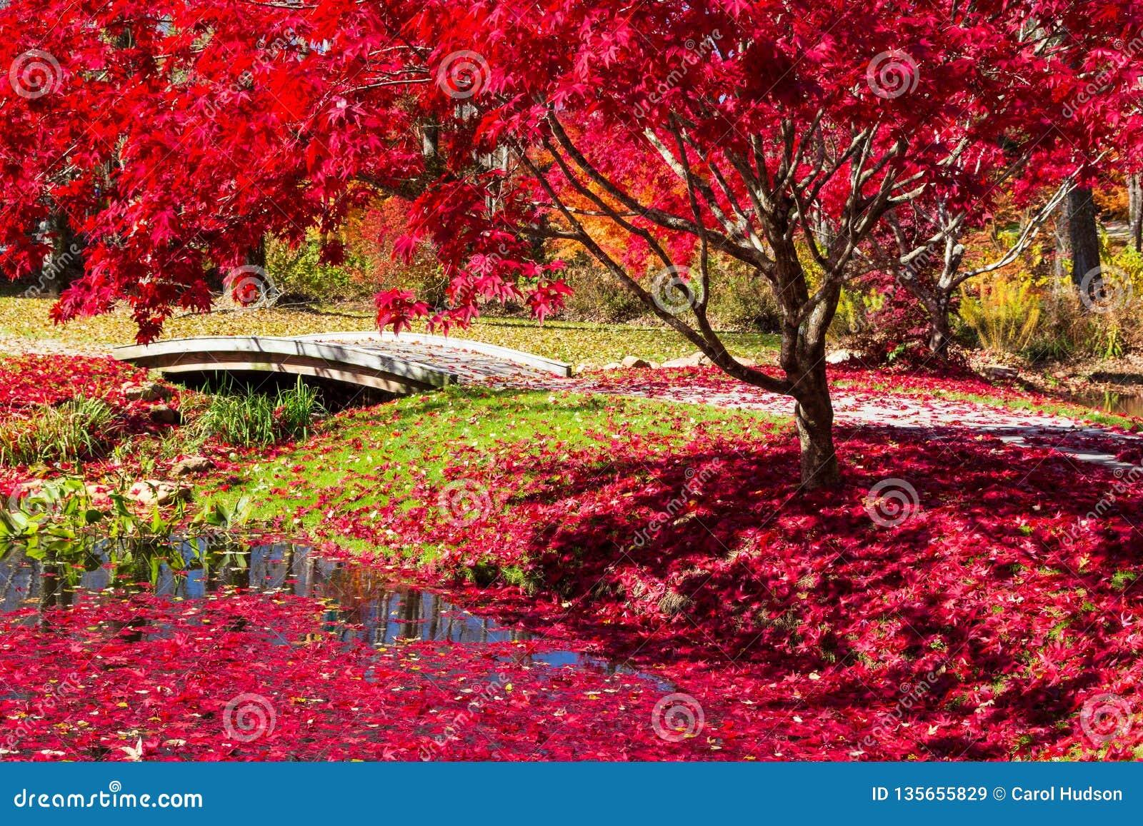 Röd-blad beströdd bana i de japanska trädgårdarna i Georgia