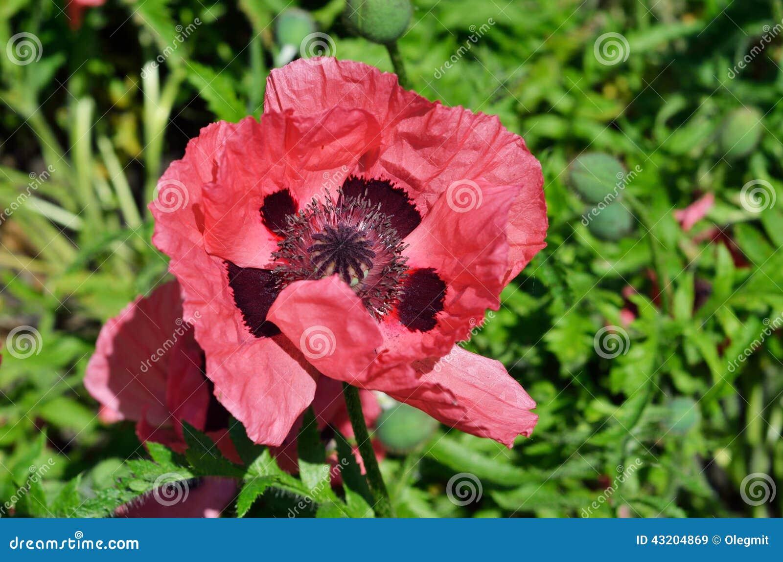 Download Röd Blomma Av Den Kultiverade Vallmo Fotografering för Bildbyråer - Bild av green, blommar: 43204869