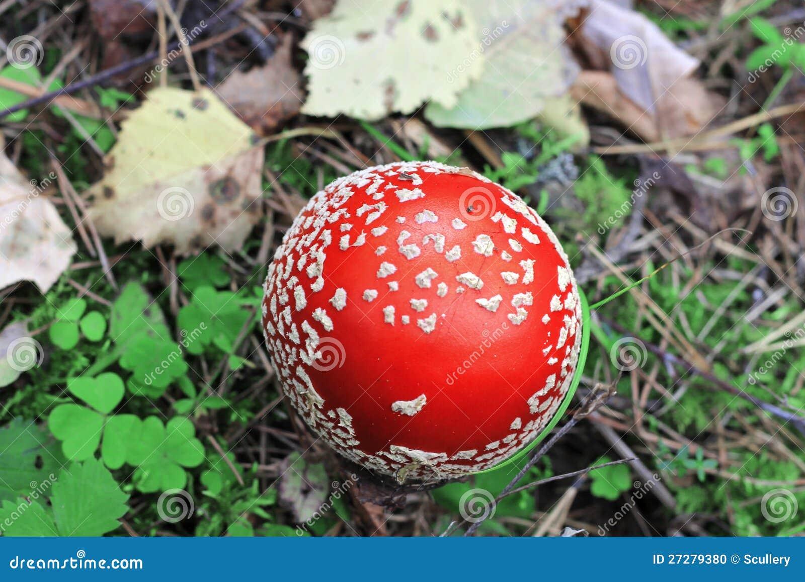 Röd förgiftad champinjon som växer i sommarskogen