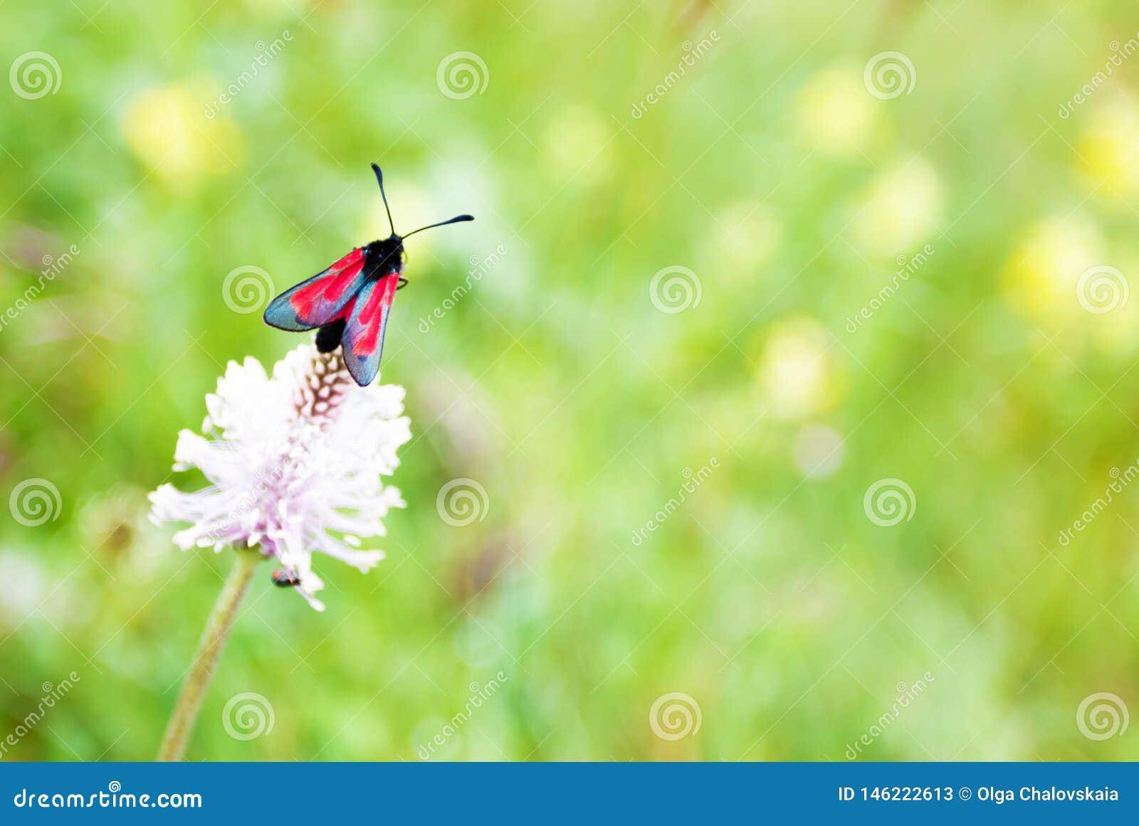 Röd fjäril på växt av släktet Trifolium, makrofoto