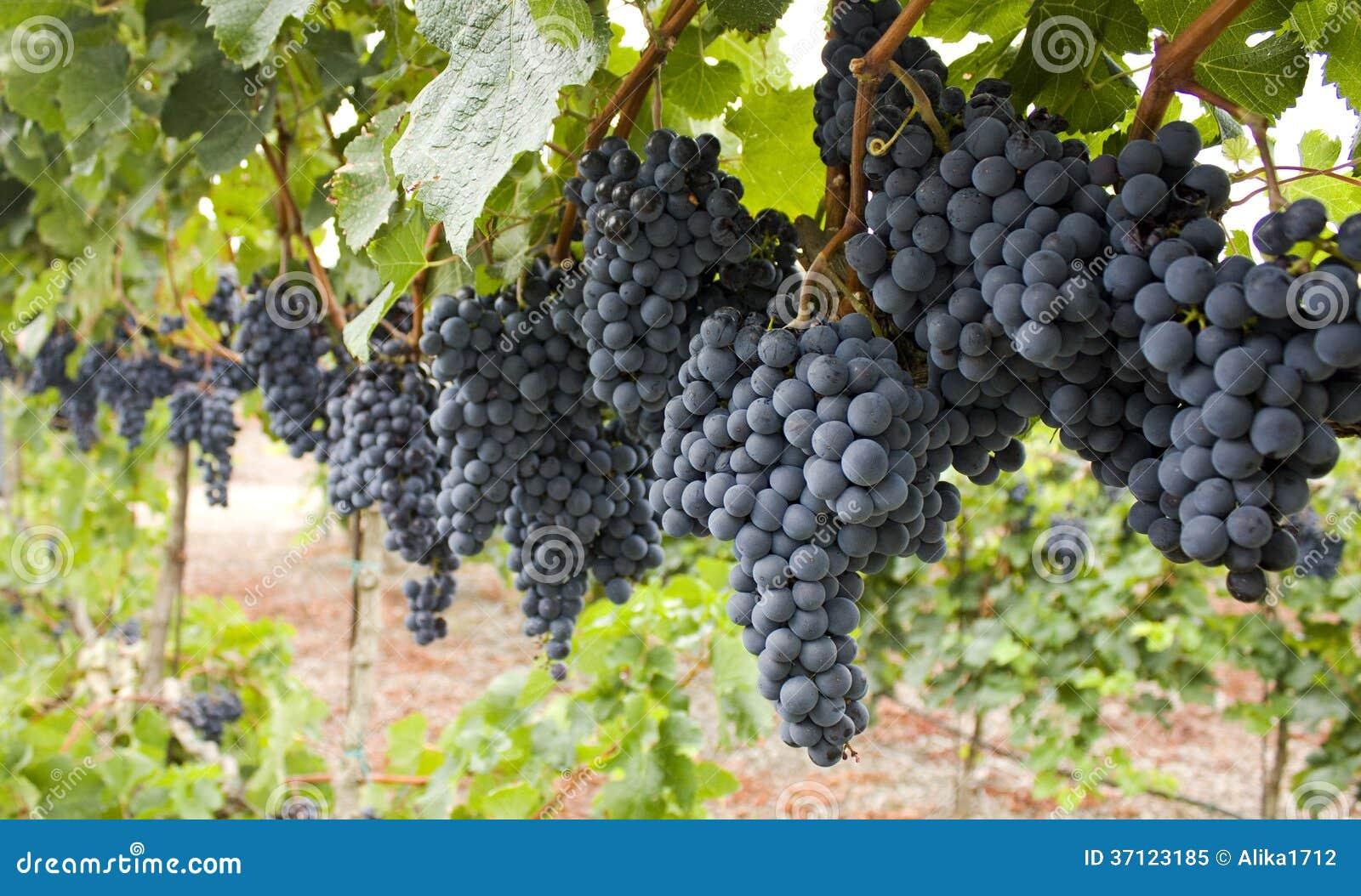 Röd grupp av druvor.