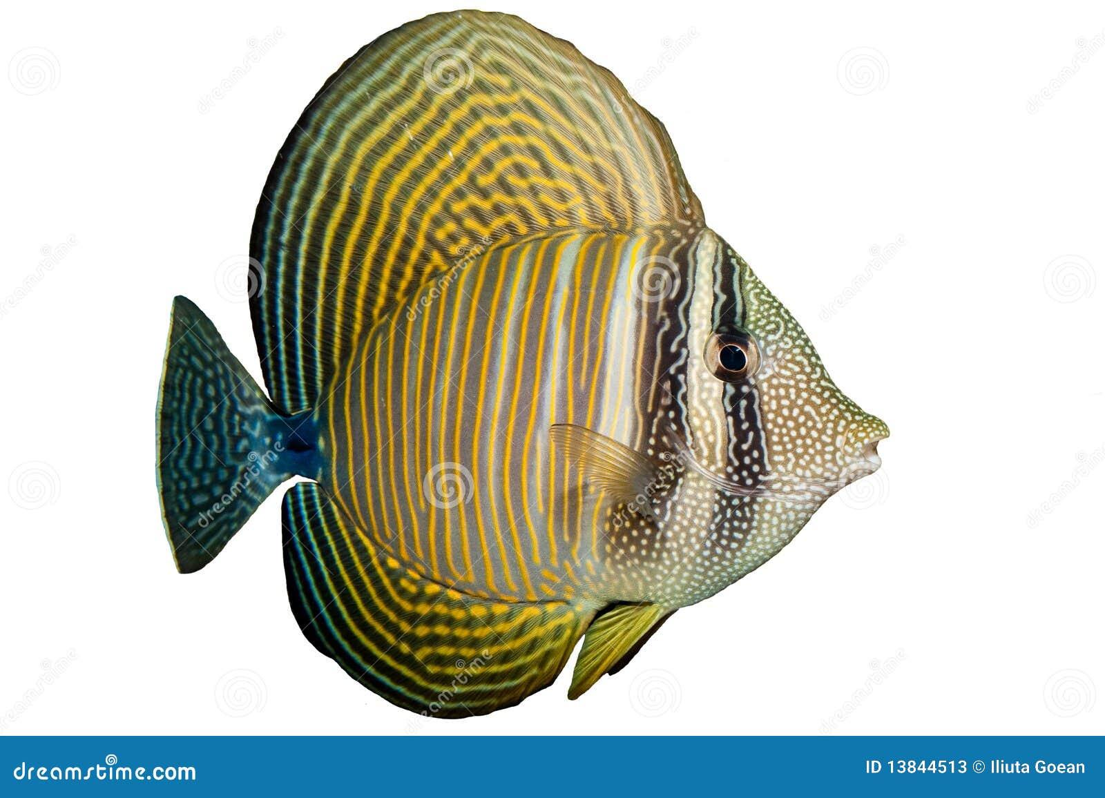 Röd havsSailfin Tang