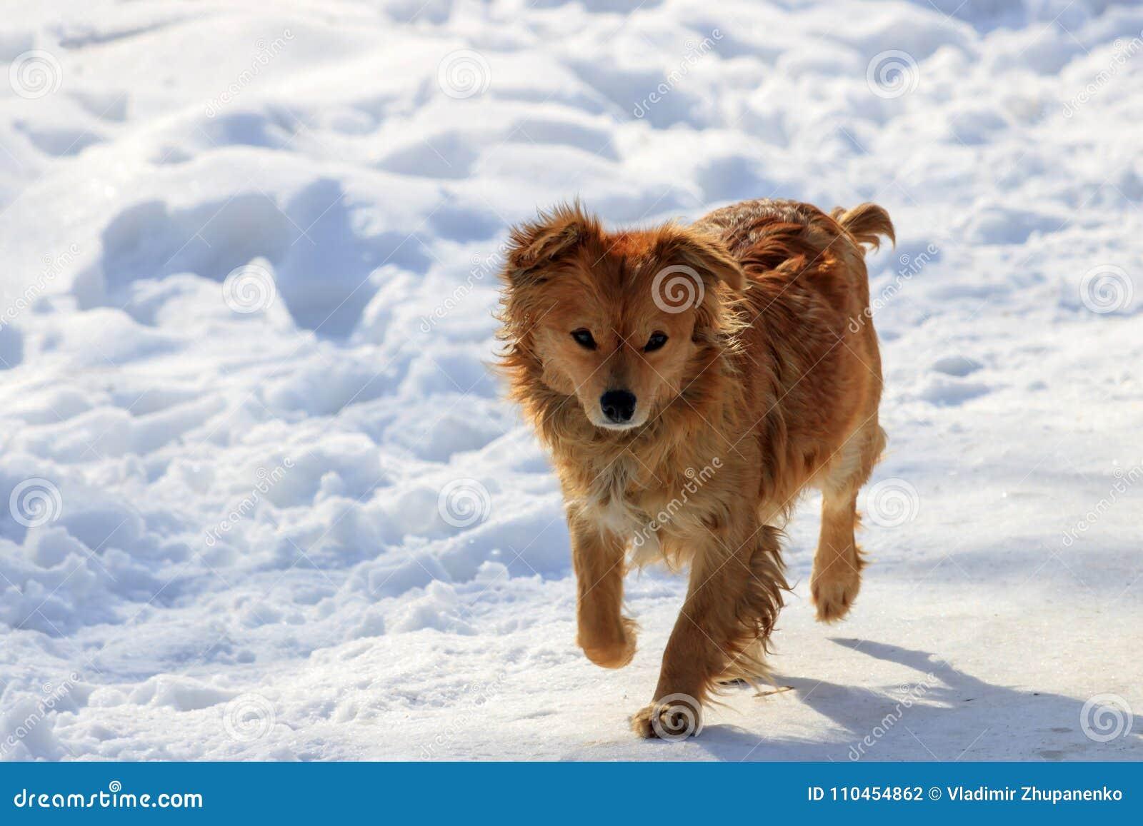 Röd hund som går på ett snöig fält