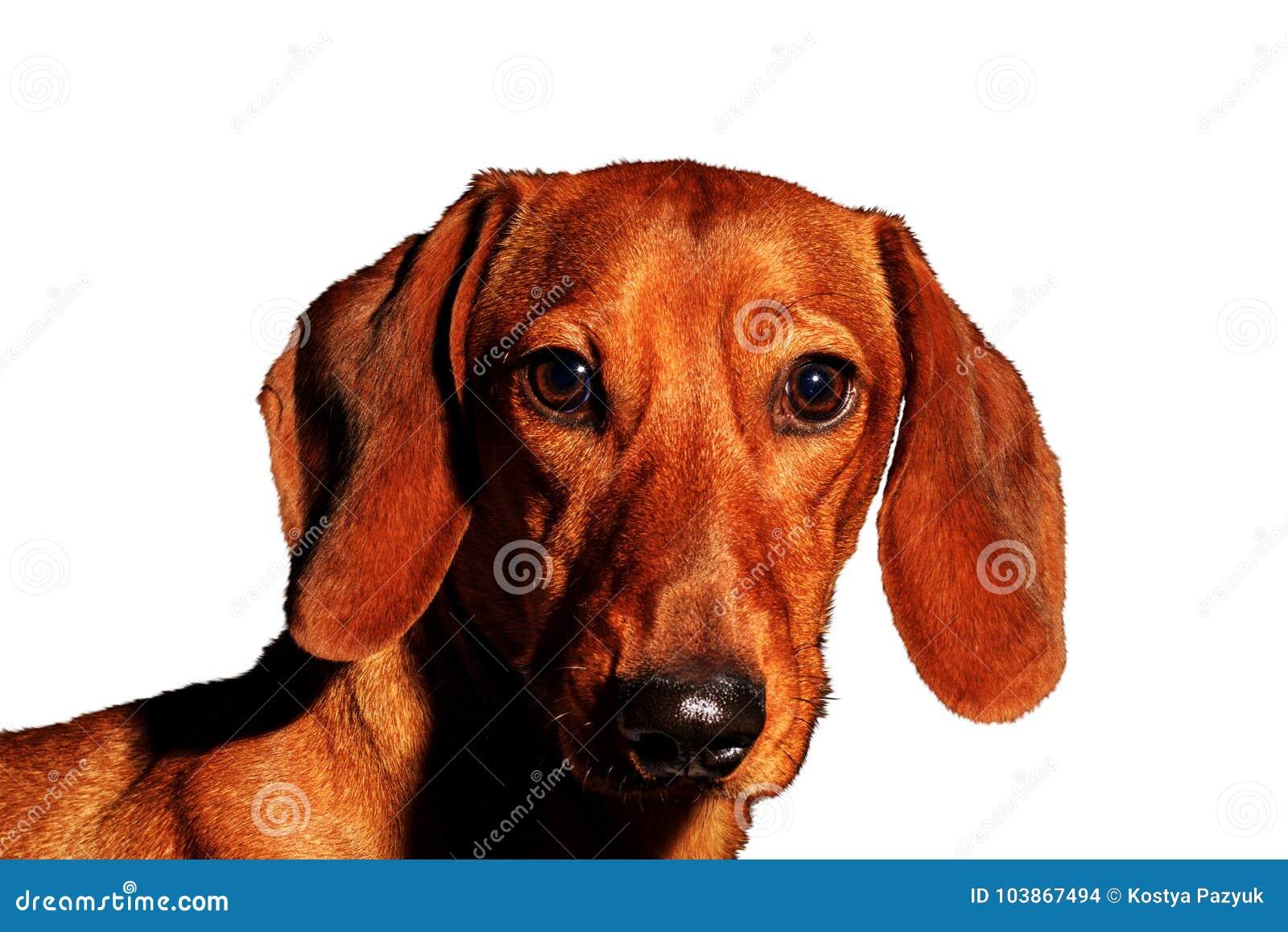 Röd hundstående av ett årssymbol på en vit bakgrund
