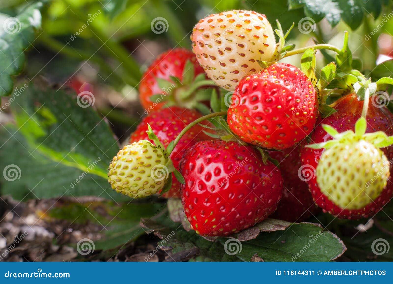 Röd jordgubbe och omogna vitfrukter på en jordgubbebuske som växer på en säng