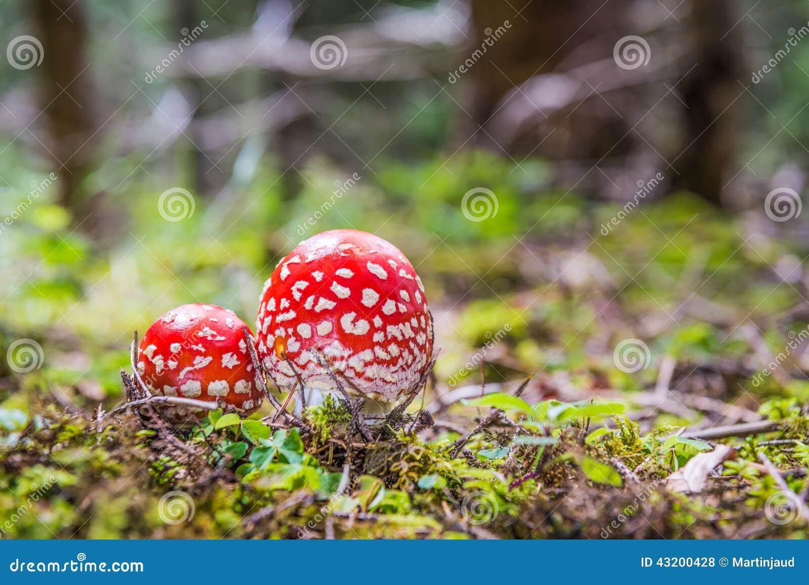 Download Röd Klipsk Amanita Två I Skogen Arkivfoto - Bild av green, garnering: 43200428