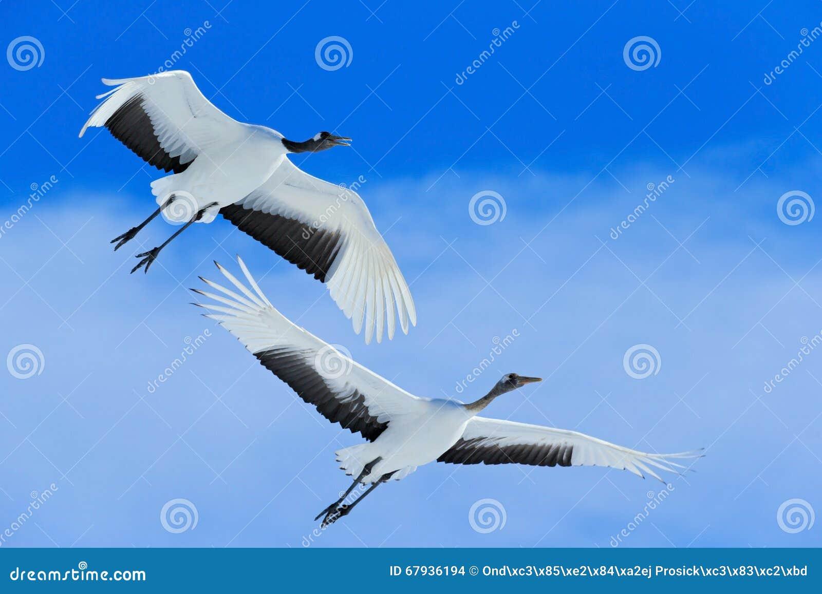 Röd-krönade fåglar för flygvit två sträcker på halsen, Grusjaponensisen, med den öppna vingen, blå himmel med vitmoln i bakgrund,