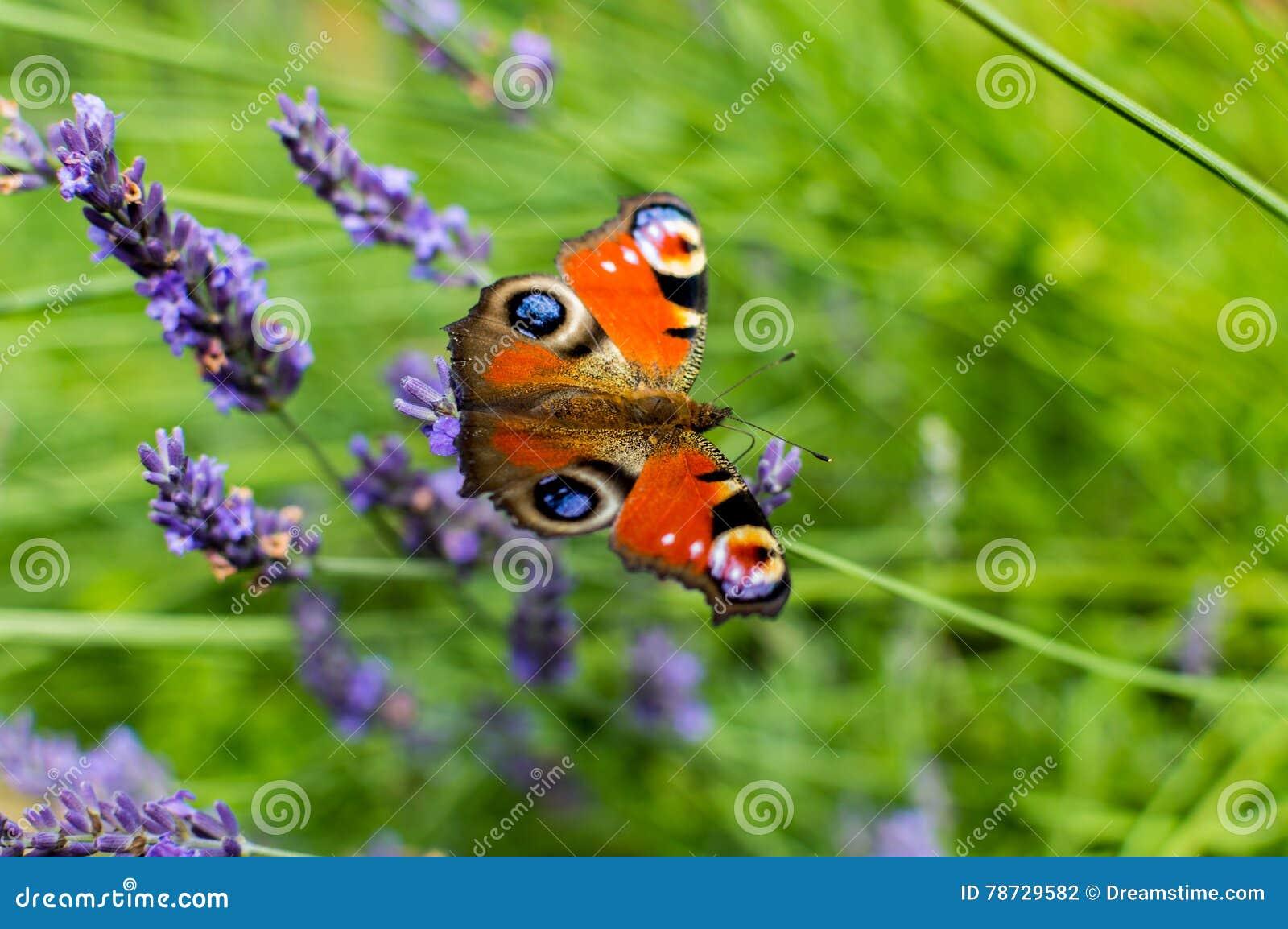 Röd liten sköldpadds- fjäril som festar på violett lavendel