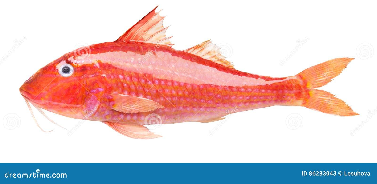 Röd multefiskar