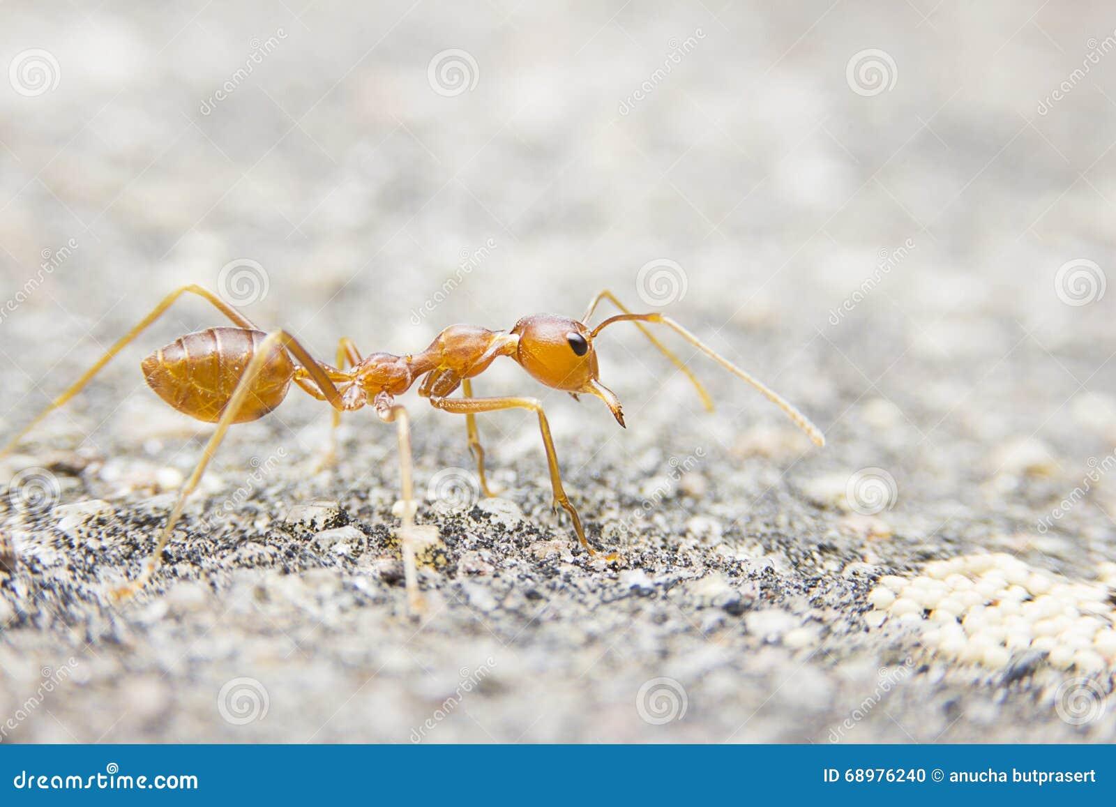 Röd myra för närbildmakro på stenbakgrund