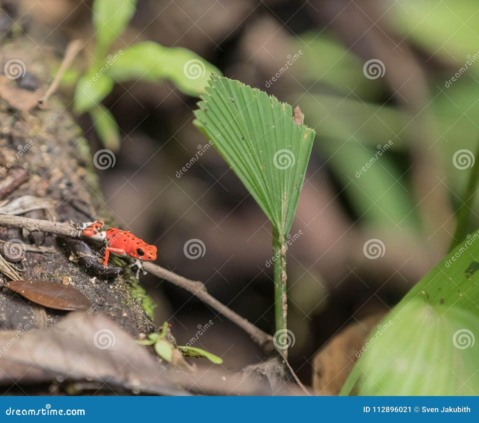Röd Oophaga för groda för jordgubbegiftpil pumiliom på Bastimento