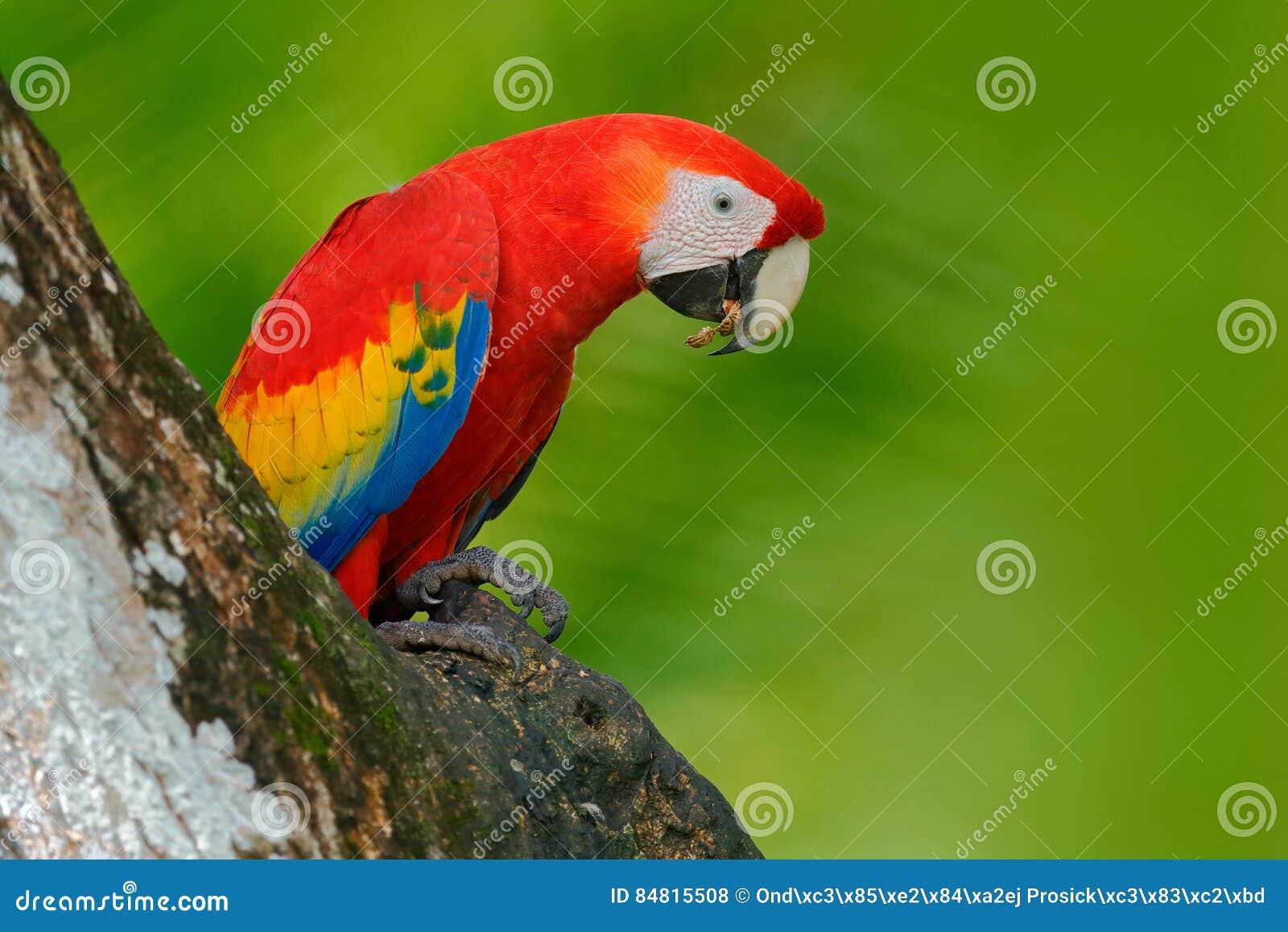 Röd papegoja i redehålet Mekaniskt säga efter den scharlakansröda aran, munkhättor Macao, i mörker - grön tropisk skog, Costa Ric