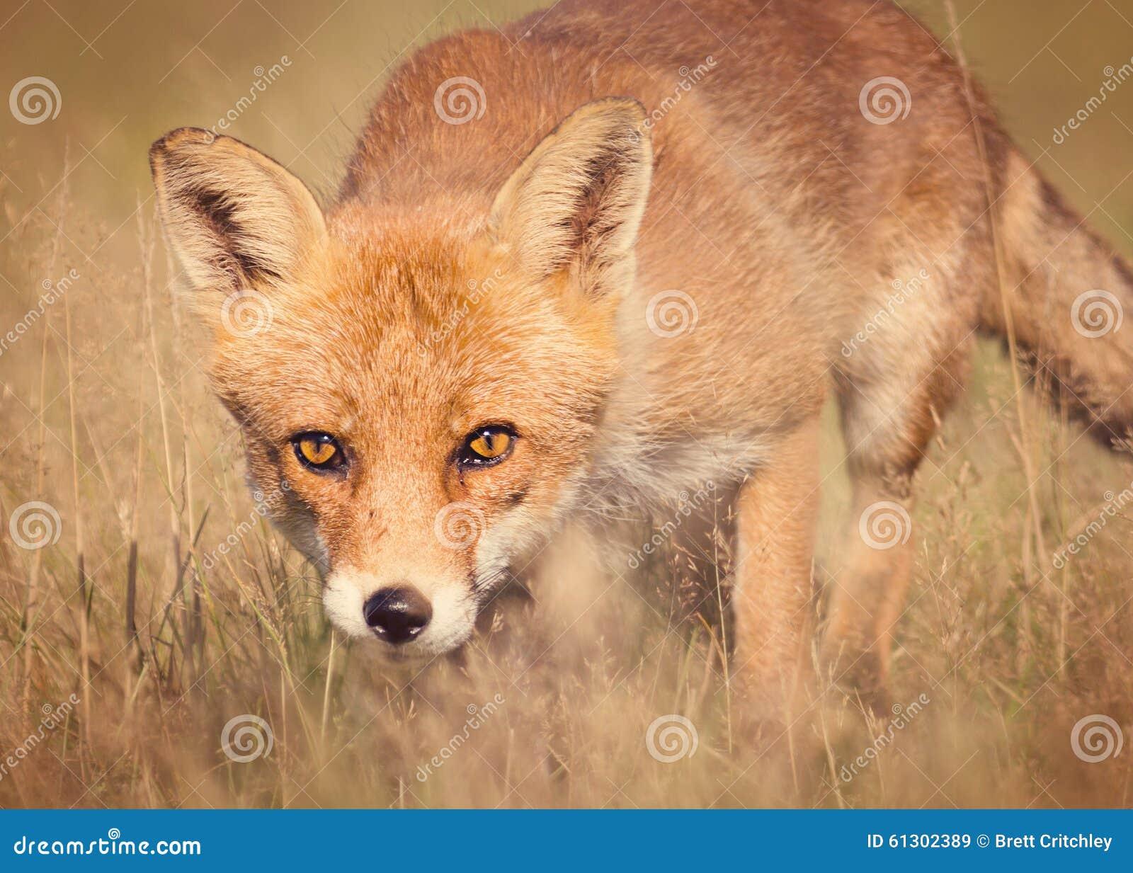Röd räv