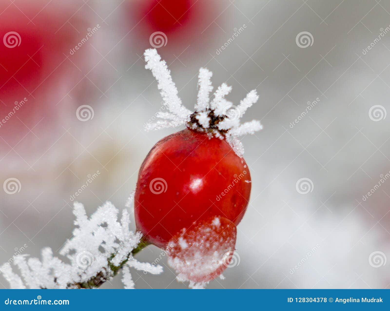 Röd ro-höfter makro i vinter under frost i förkylningen