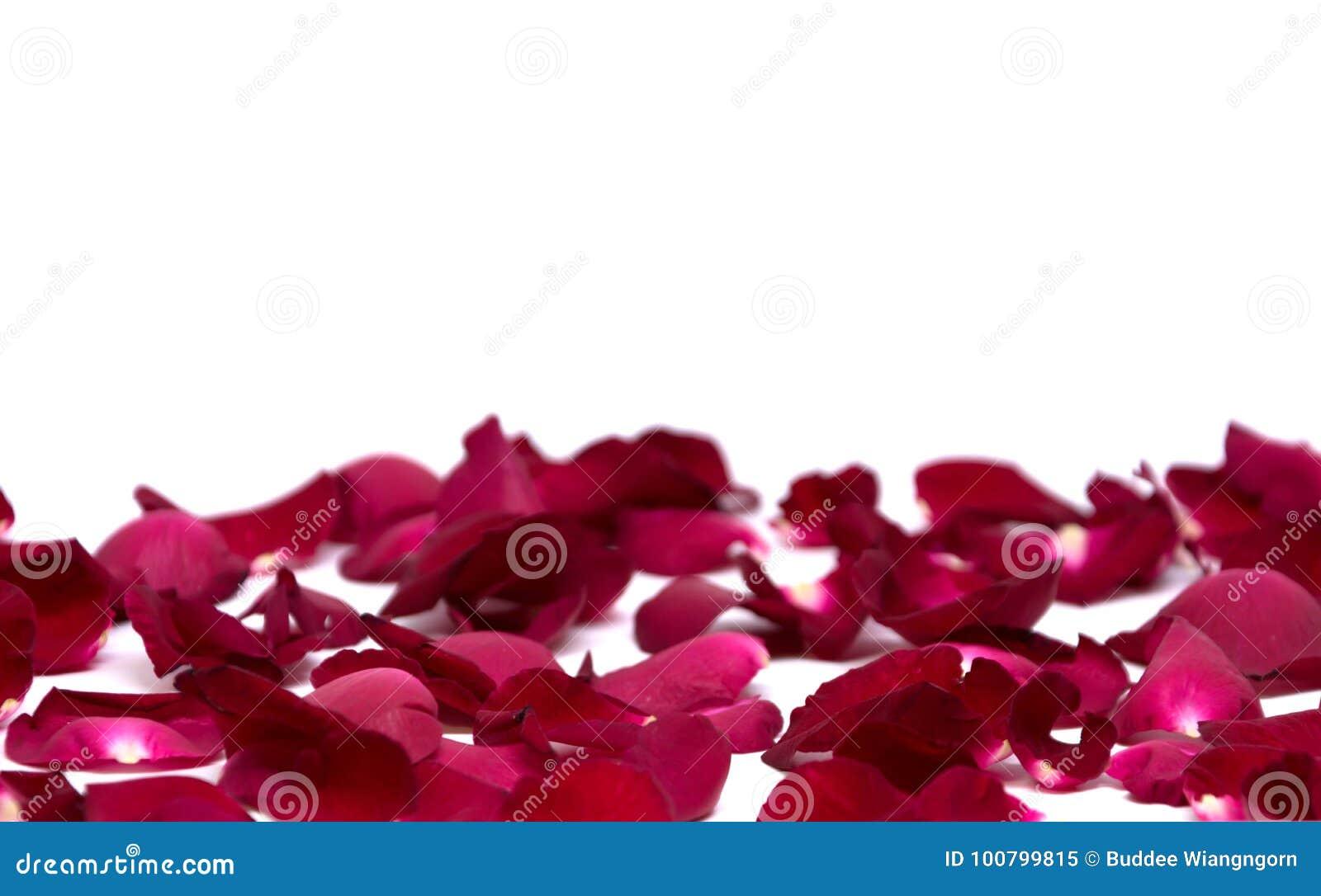 Röd ros för Closeup på vita bakgrunder