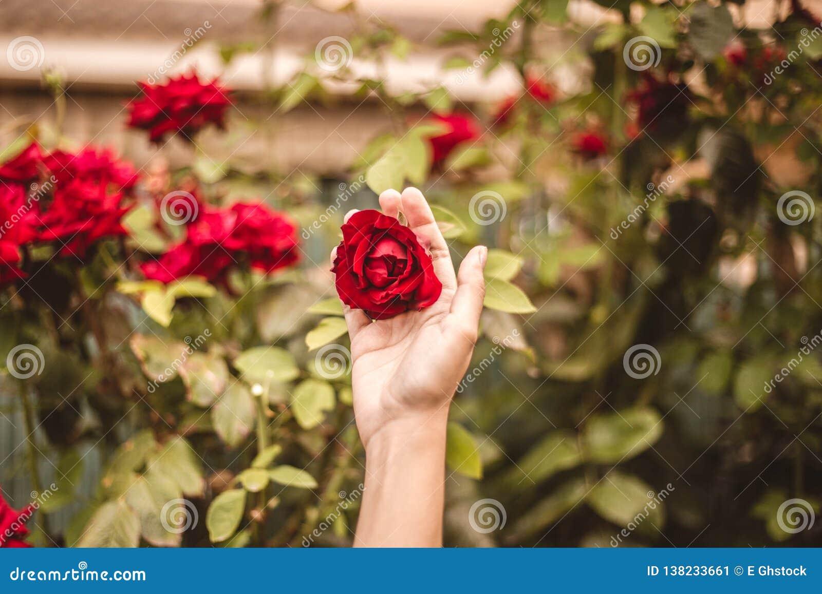 Röd ros i gården med en hand för valentindag