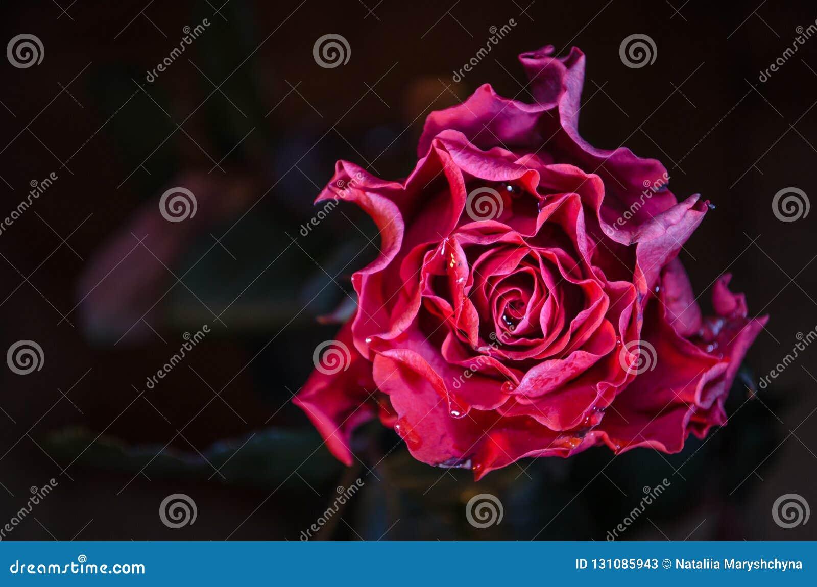 Röd ros med krabba kronblad och droppar av dagg på mörk bakgrund
