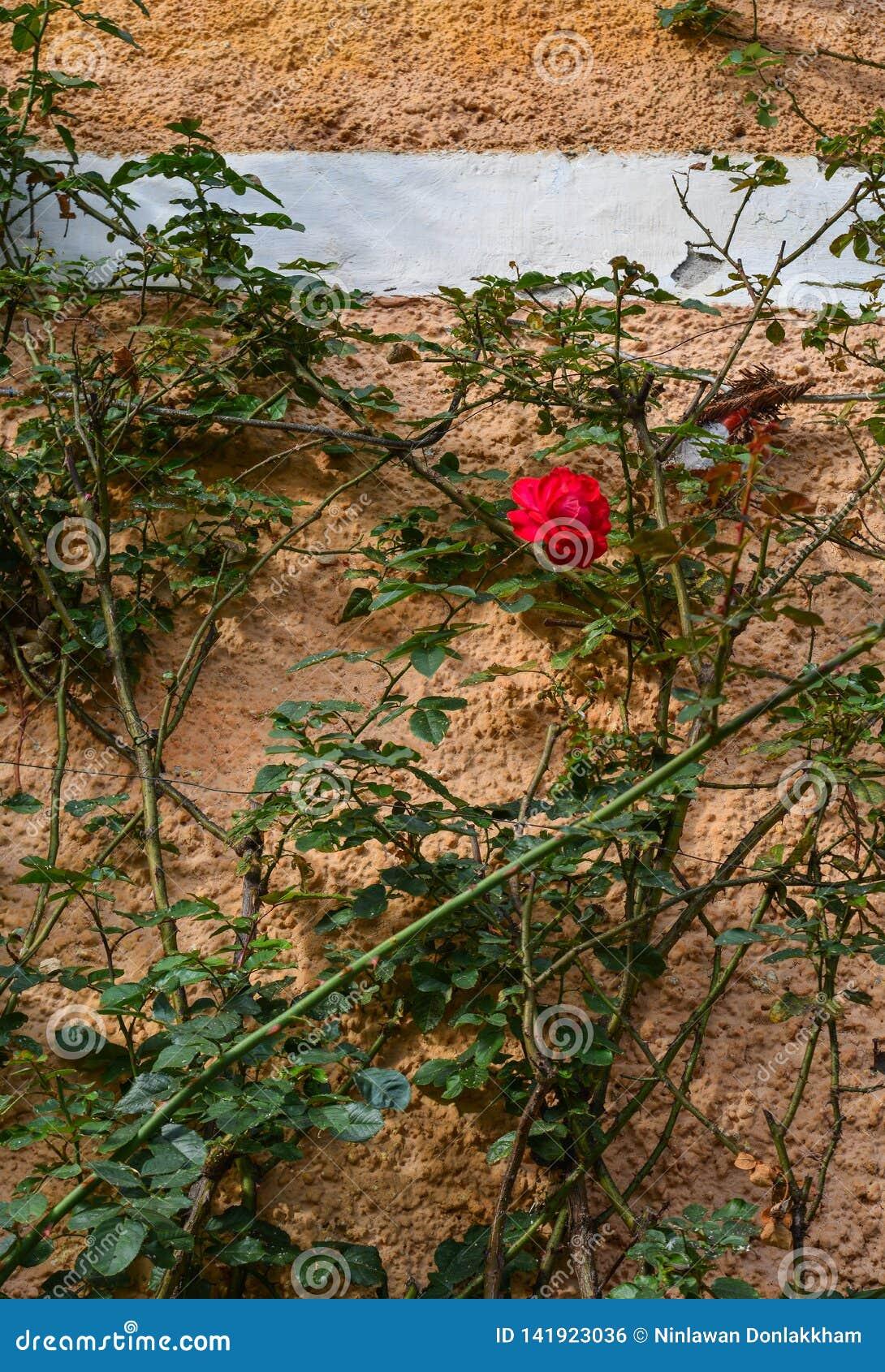Röd ros på den gamla tegelstenväggen